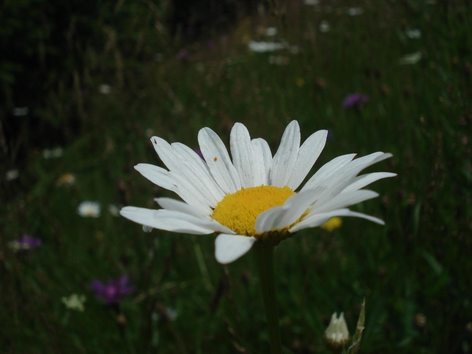 3497 скачать обои Растения, Цветы, Ромашки - заставки и картинки бесплатно