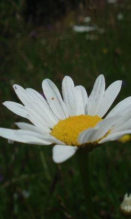 3497 descargar fondo de pantalla Plantas, Flores, Camomila: protectores de pantalla e imágenes gratis