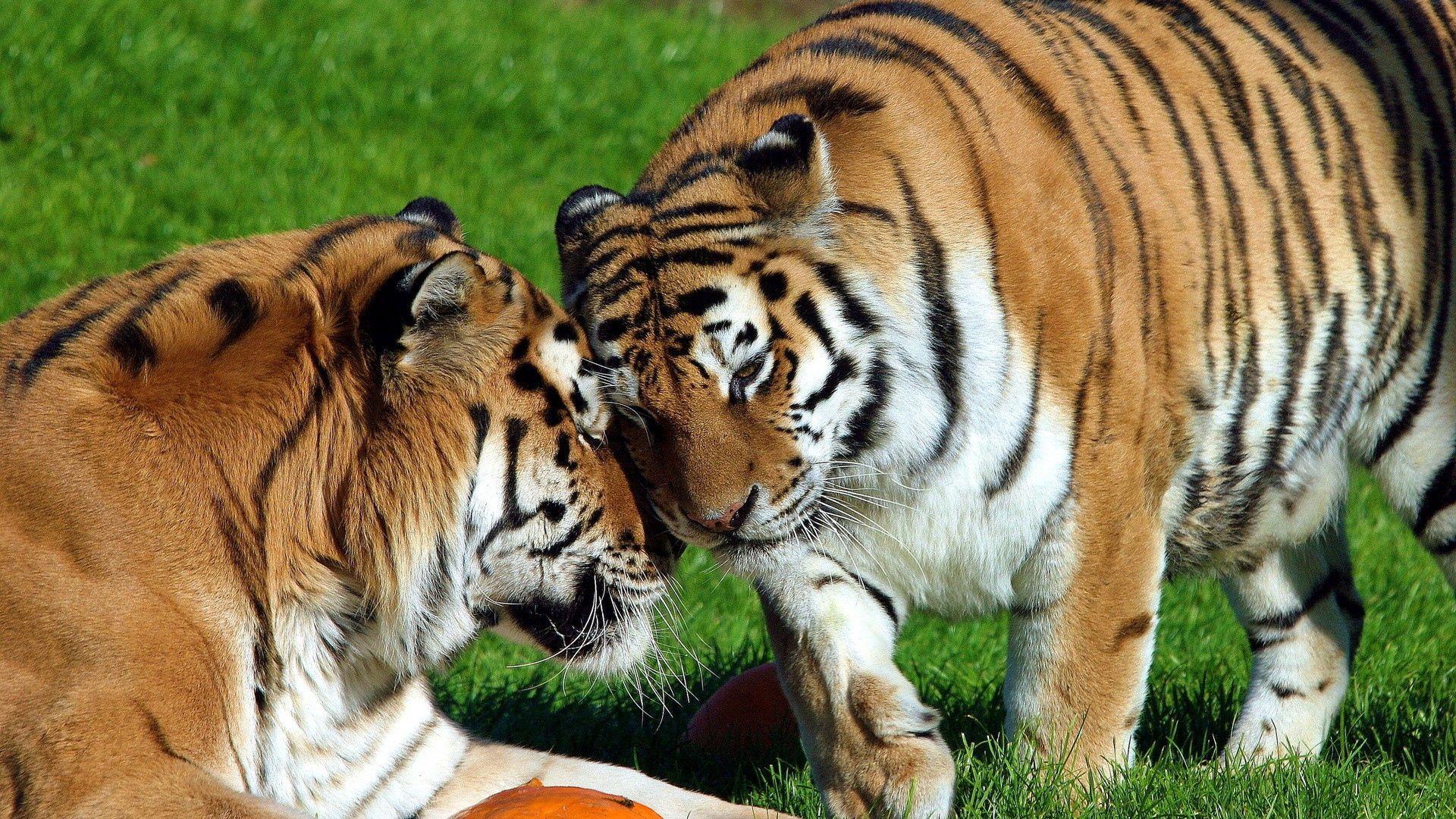 103101 Hintergrundbild herunterladen Tiere, Grass, Tigers, Paar, Sich Hinlegen, Liegen, Zärtlichkeit - Bildschirmschoner und Bilder kostenlos