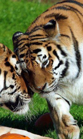 103101壁紙のダウンロード動物, カップル, 双, 草, 横になります, 嘘, 優しさ, 愛, 阪神タイガース-スクリーンセーバーと写真を無料で