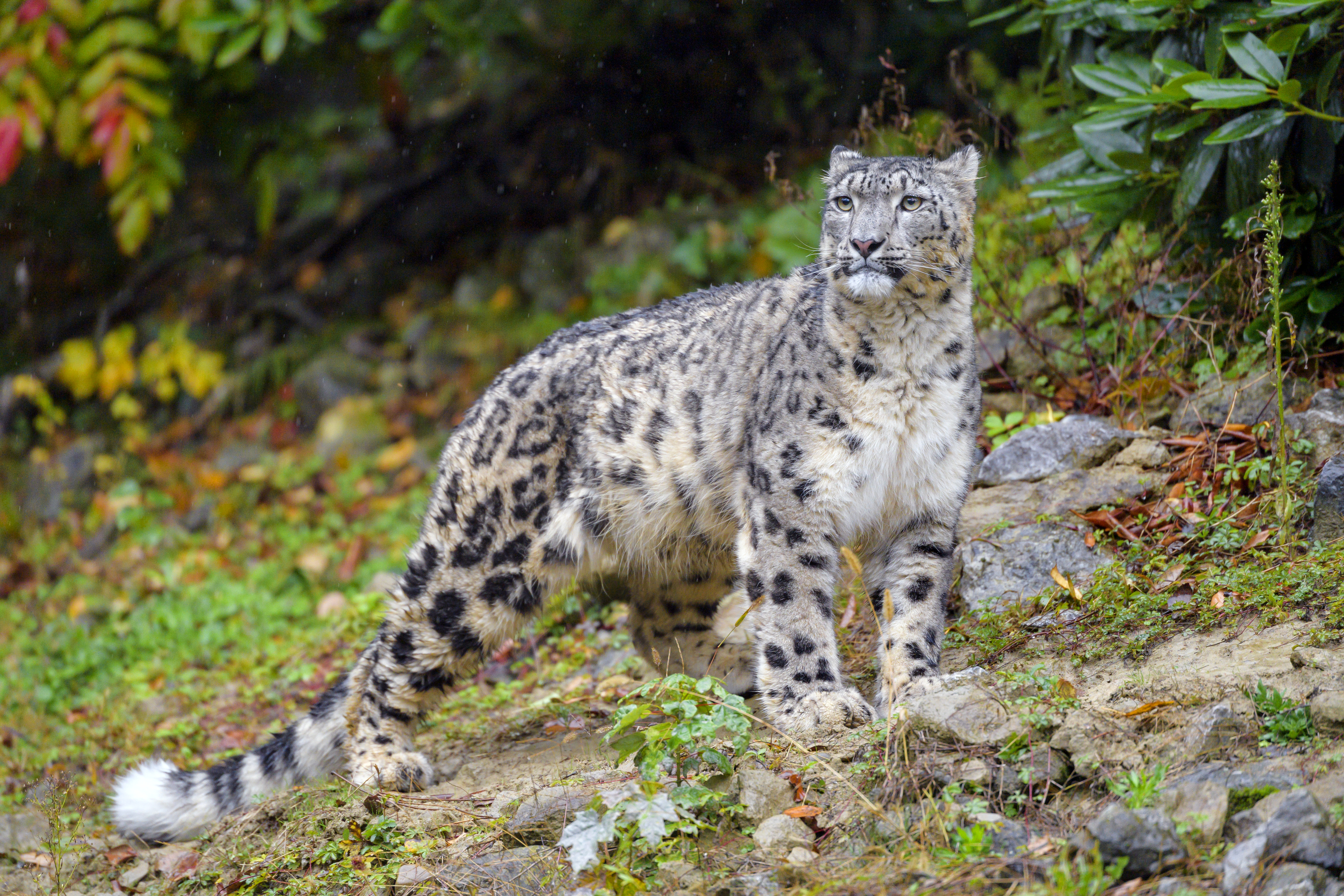 66441 download wallpaper Animals, Irbis, Big Cat, Predator, Wildlife, Snow Leopard screensavers and pictures for free