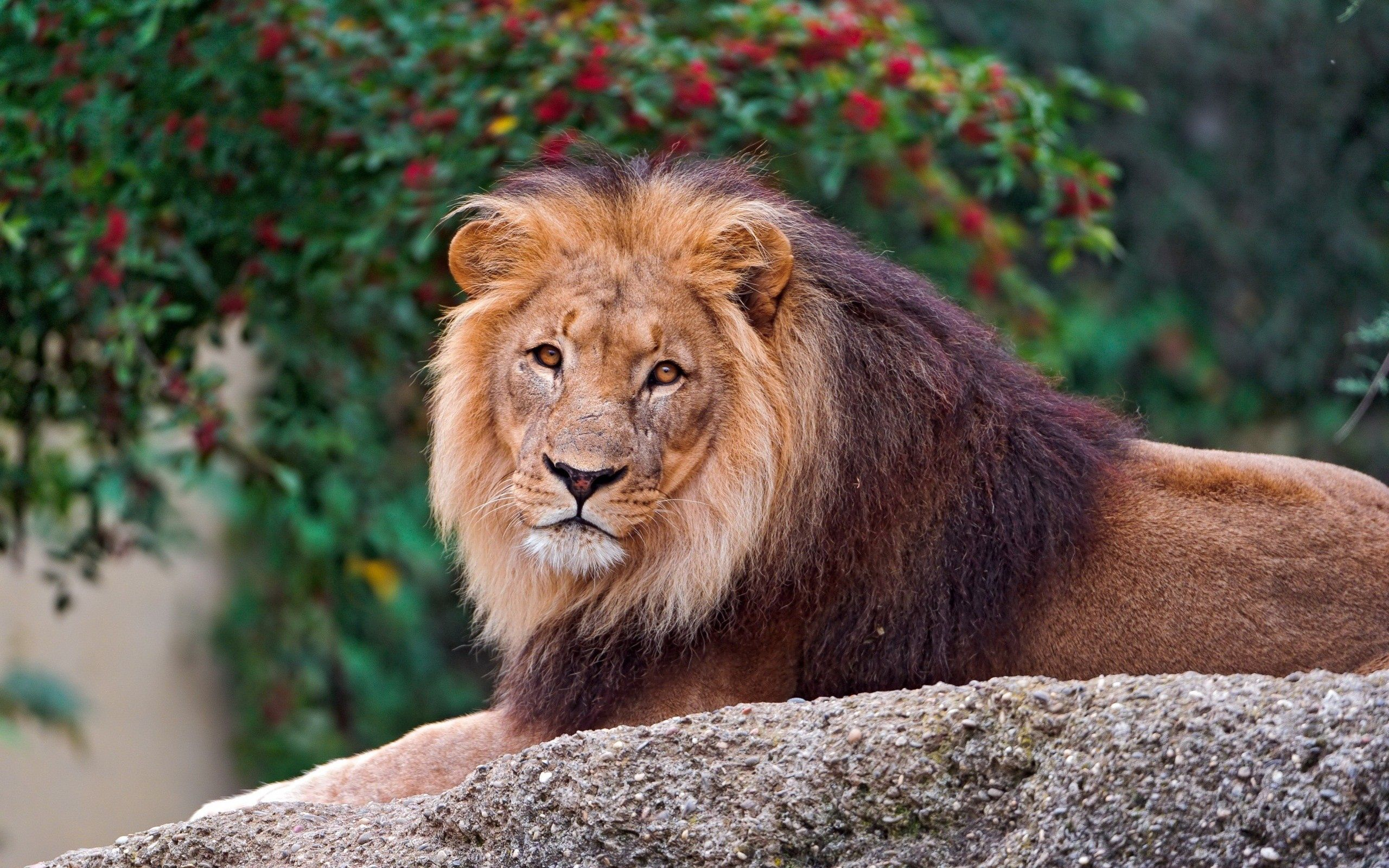 108732 download wallpaper Animals, Lion, Rock, Stone, To Lie Down, Lie, Mane screensavers and pictures for free