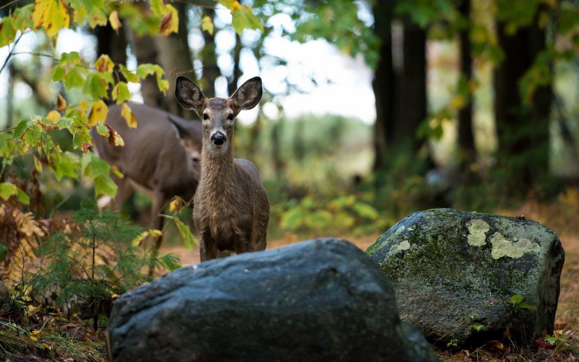99166 скачать обои Животные, Олень, Трава, Камни, Лес, Деревья - заставки и картинки бесплатно