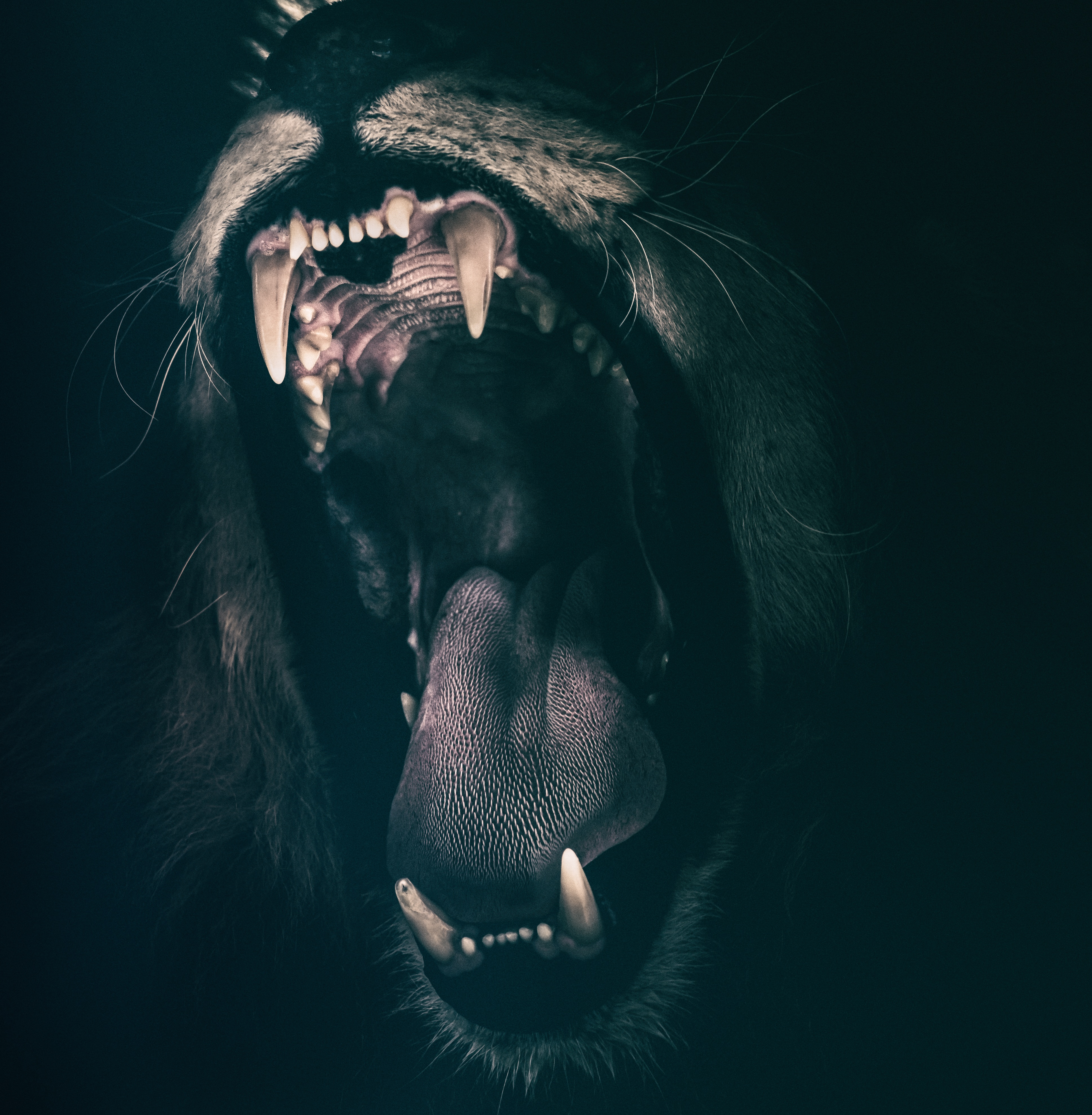 128468 Screensavers and Wallpapers Lion for phone. Download Lion, Animals, Grin, Fangs pictures for free