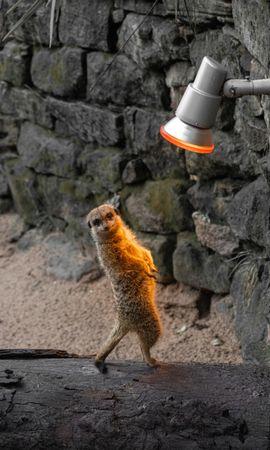 137834 download wallpaper Animals, Meerkat, Surikat, Funny, Animal, Lamp screensavers and pictures for free