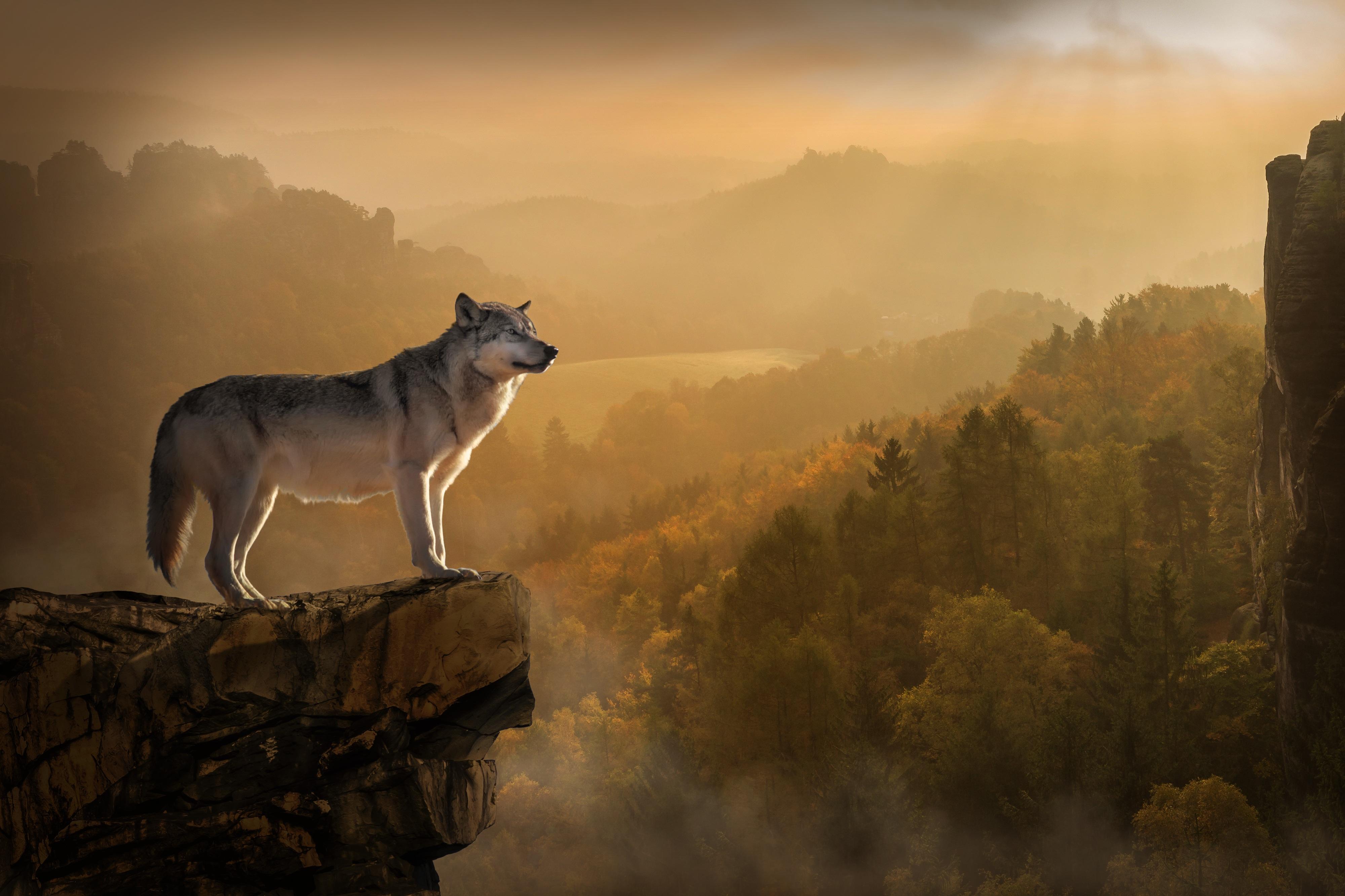 87666 descargar fondo de pantalla Animales, Lobo, Roca, Rotura, Precipicio, Depredador: protectores de pantalla e imágenes gratis