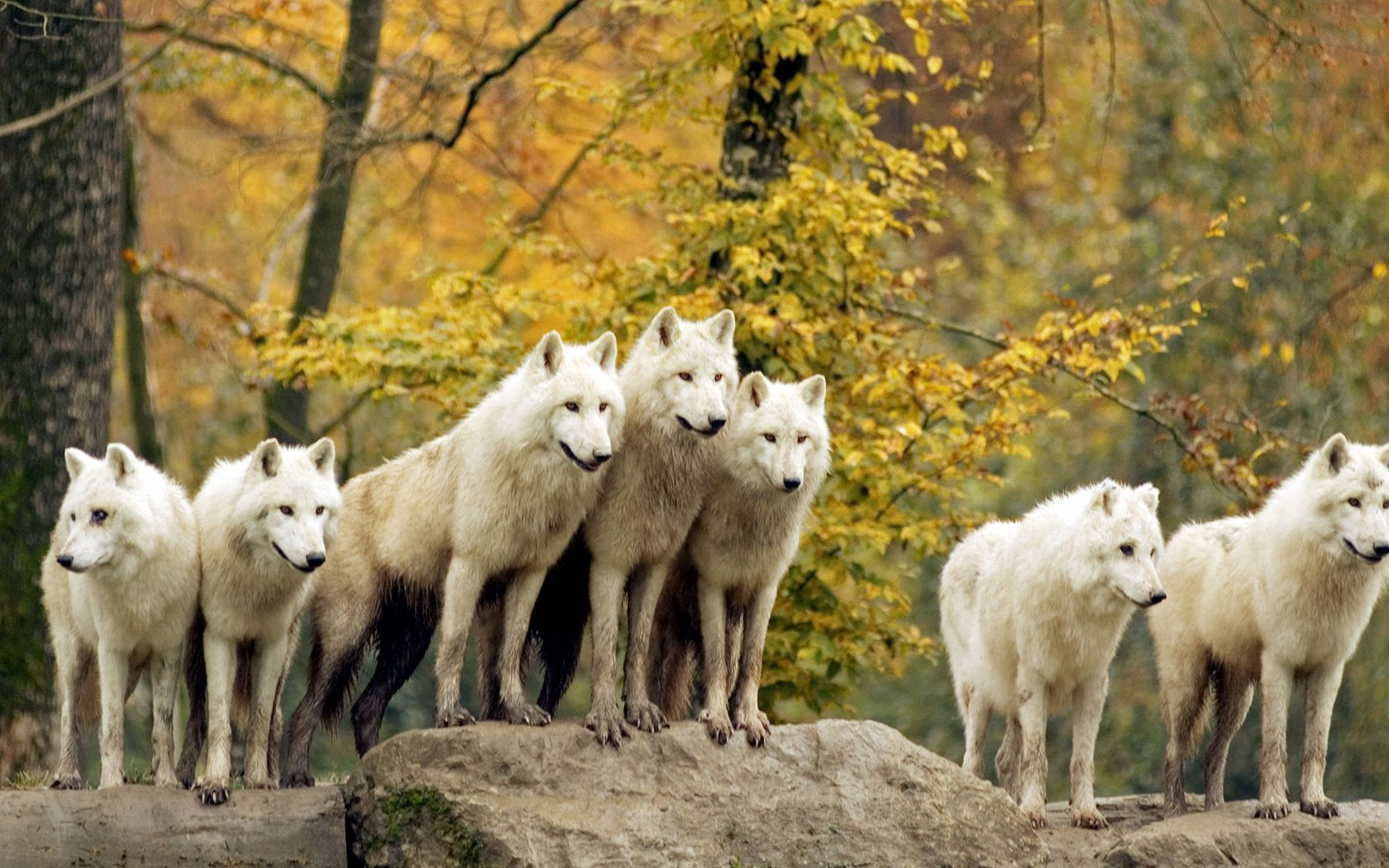 121461 download wallpaper Animals, Wolfs, Trees, Grass, Autumn, Forest, Family, Flock, Hunting, Hunt screensavers and pictures for free