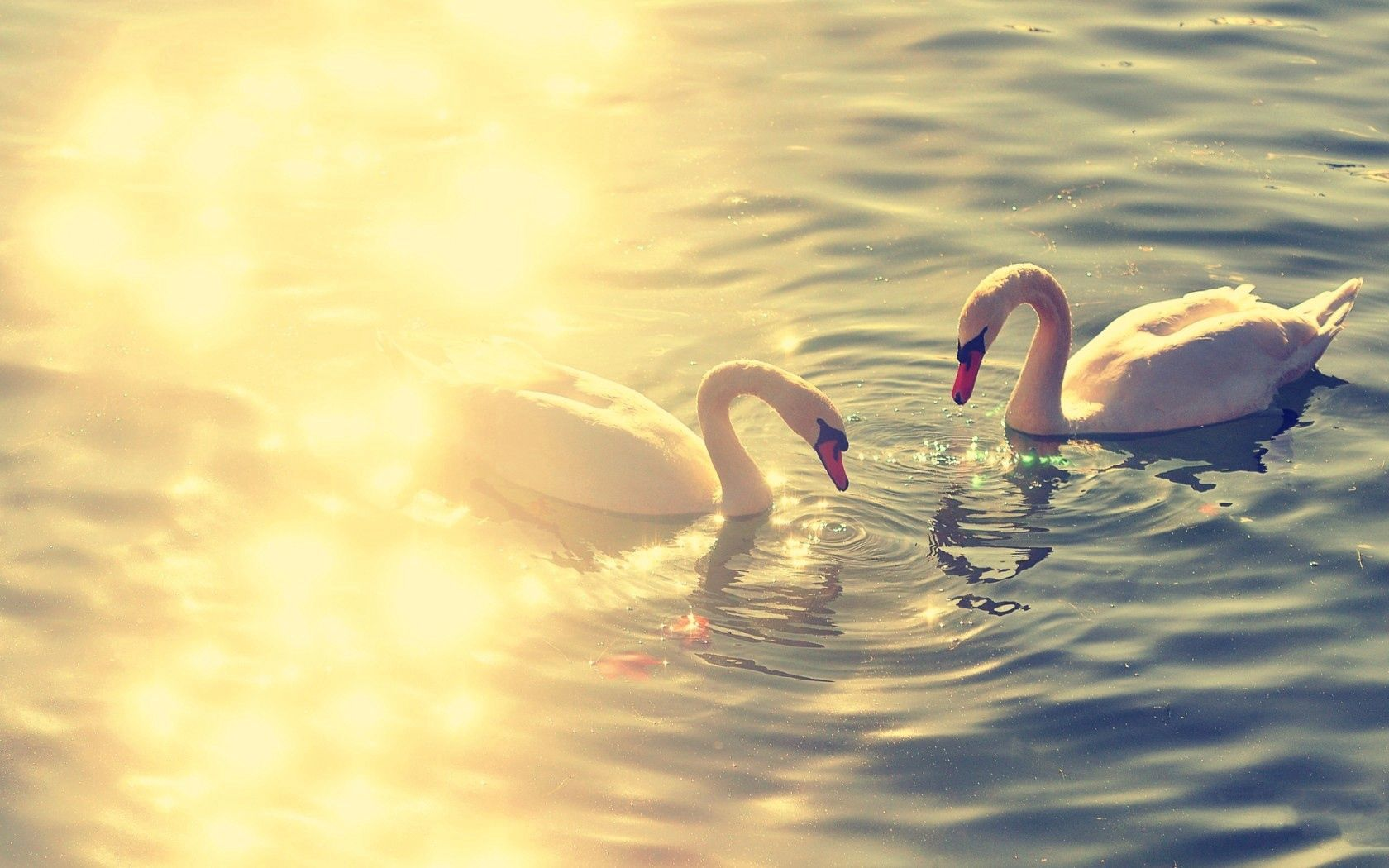 119955 download wallpaper Animals, Pond, Lake, Water, Glare, Swans, Couple, Pair screensavers and pictures for free