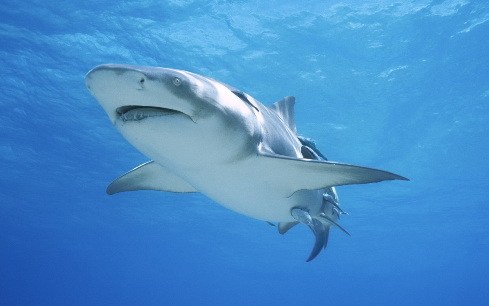 27069 download wallpaper Animals, Sharks, Fishes screensavers and pictures for free