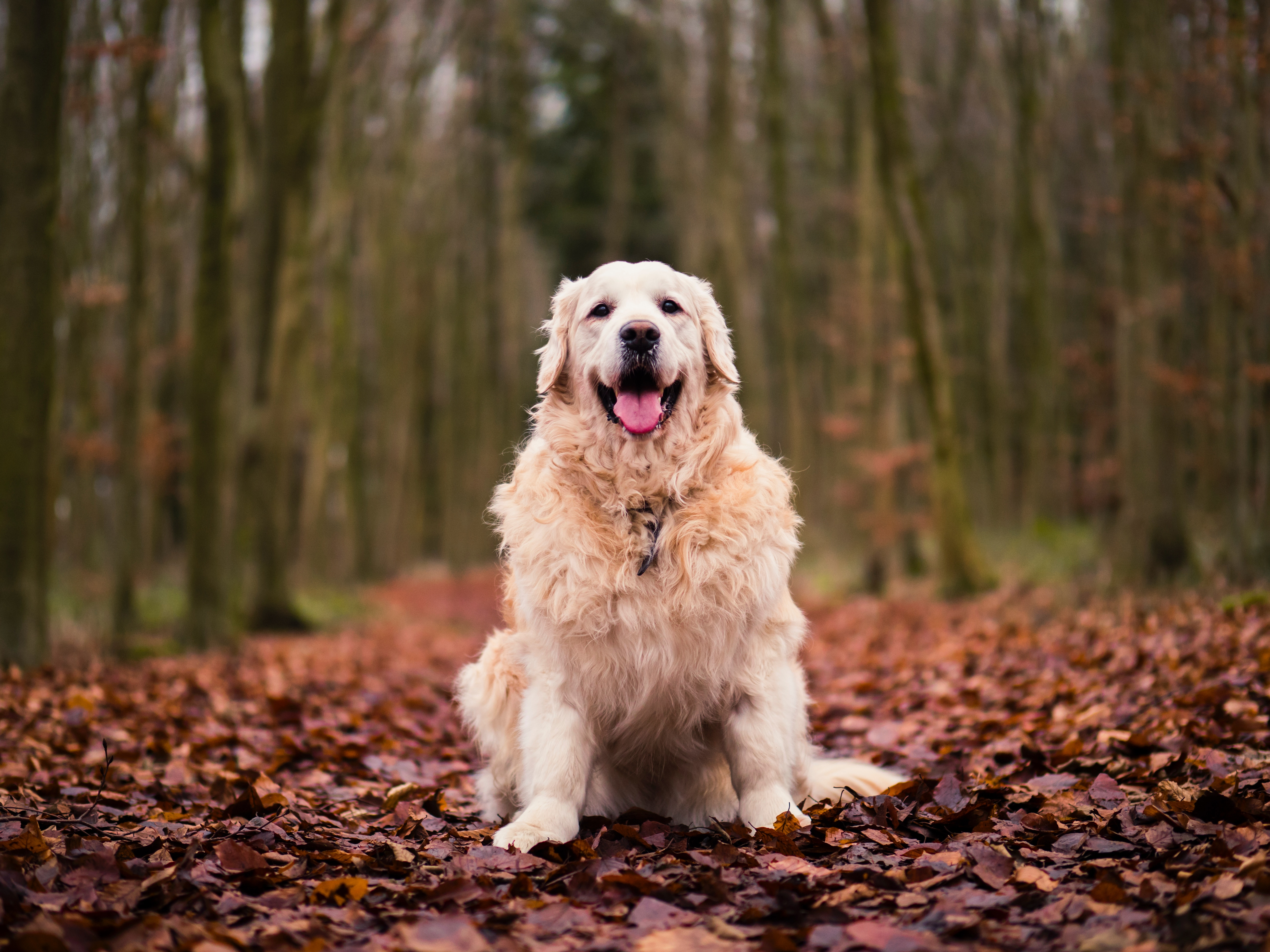 155737 download wallpaper Animals, Autumn, Dog, Foliage, Is Sitting, Sits screensavers and pictures for free