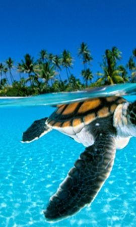 18065 download wallpaper Animals, Turtles, Sea, Beach, Palms screensavers and pictures for free