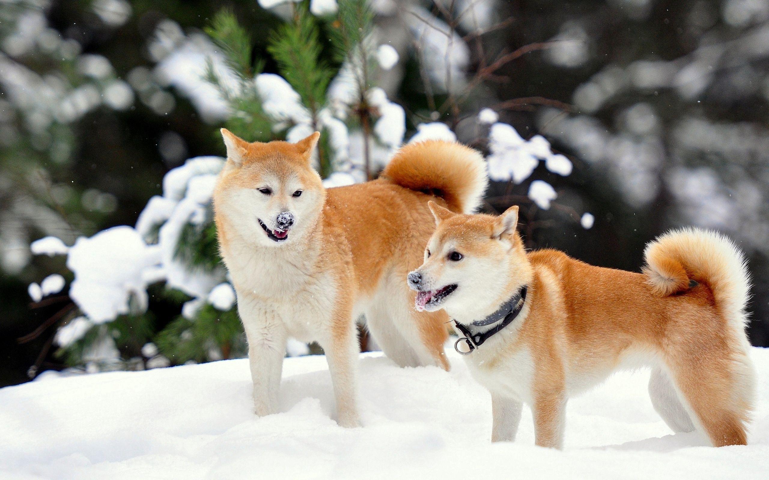 60826 скачать обои Собаки, Животные, Снег, Игривые, Акита-Ину - заставки и картинки бесплатно