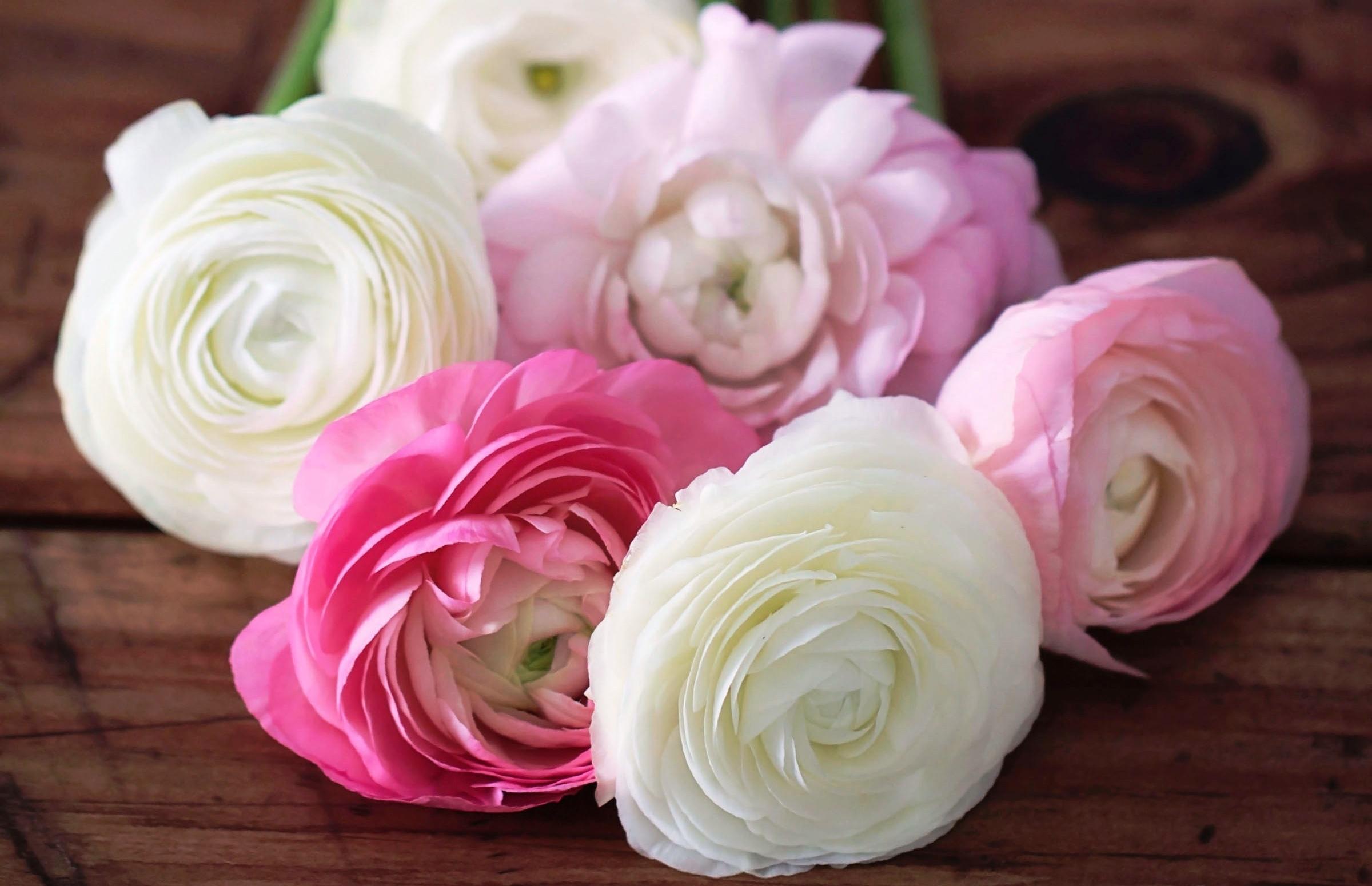 55348 скачать обои Разное, Цветы, Лепестки, Бутоны, Розовые, Лютики, Ranunculus - заставки и картинки бесплатно