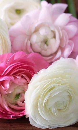 55348 скачать Белые обои на телефон бесплатно, Разное, Лютики, Ranunculus, Бутоны, Лепестки, Розовые, Цветы Белые картинки и заставки на мобильный