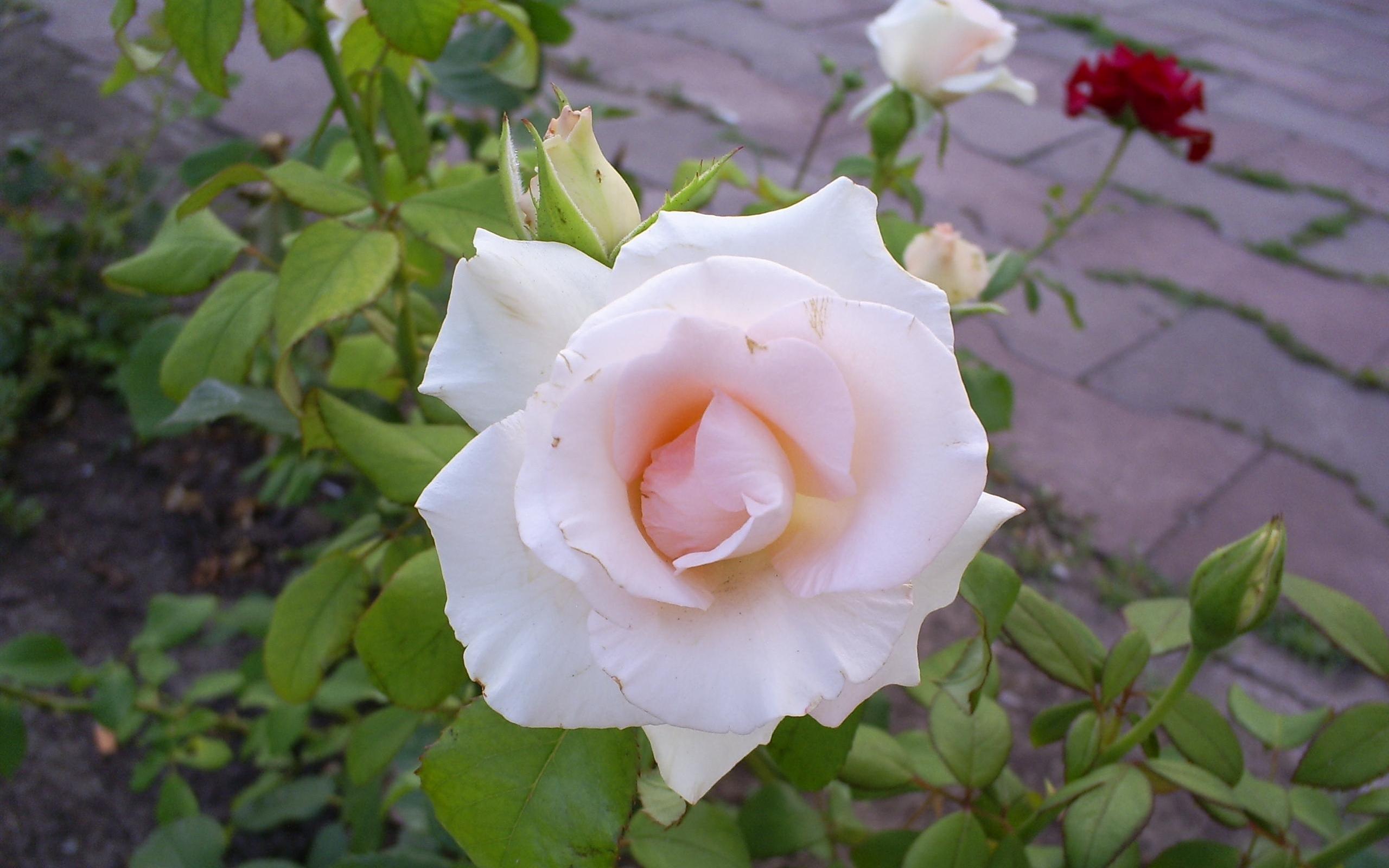 2803 скачать обои Растения, Цветы, Розы - заставки и картинки бесплатно