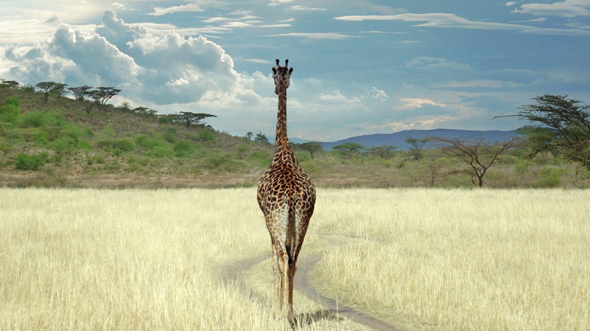 155848 免費下載壁紙 动物, 长颈鹿, 稀树草原, 草, 漫步, 步行 屏保和圖片