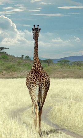 155848 скачать обои Животные, Жираф, Саванна, Трава, Прогулка - заставки и картинки бесплатно