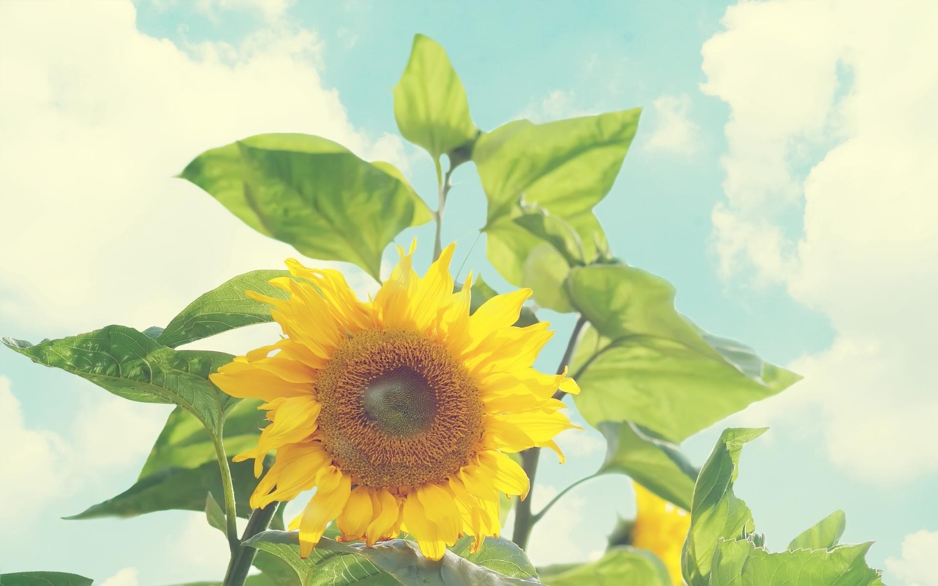 49587 скачать обои Растения, Подсолнухи - заставки и картинки бесплатно
