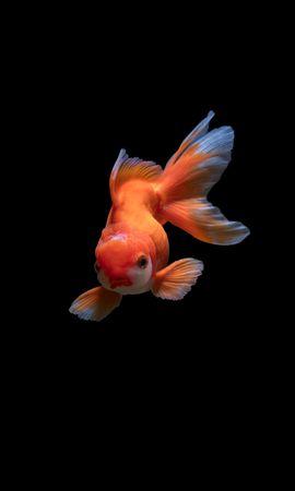 92570 baixe gratuitamente papéis de parede de Laranja para seu telefone, Animais, Peixe Pequeno, Suspeito, Mundo Subaquático, Nadar imagens e protetores de tela de Laranja para seu celular