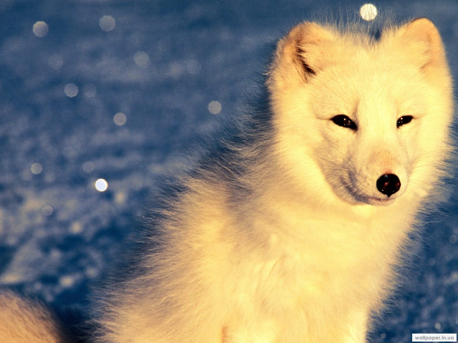 7526 download wallpaper Animals, Polar Foxes screensavers and pictures for free