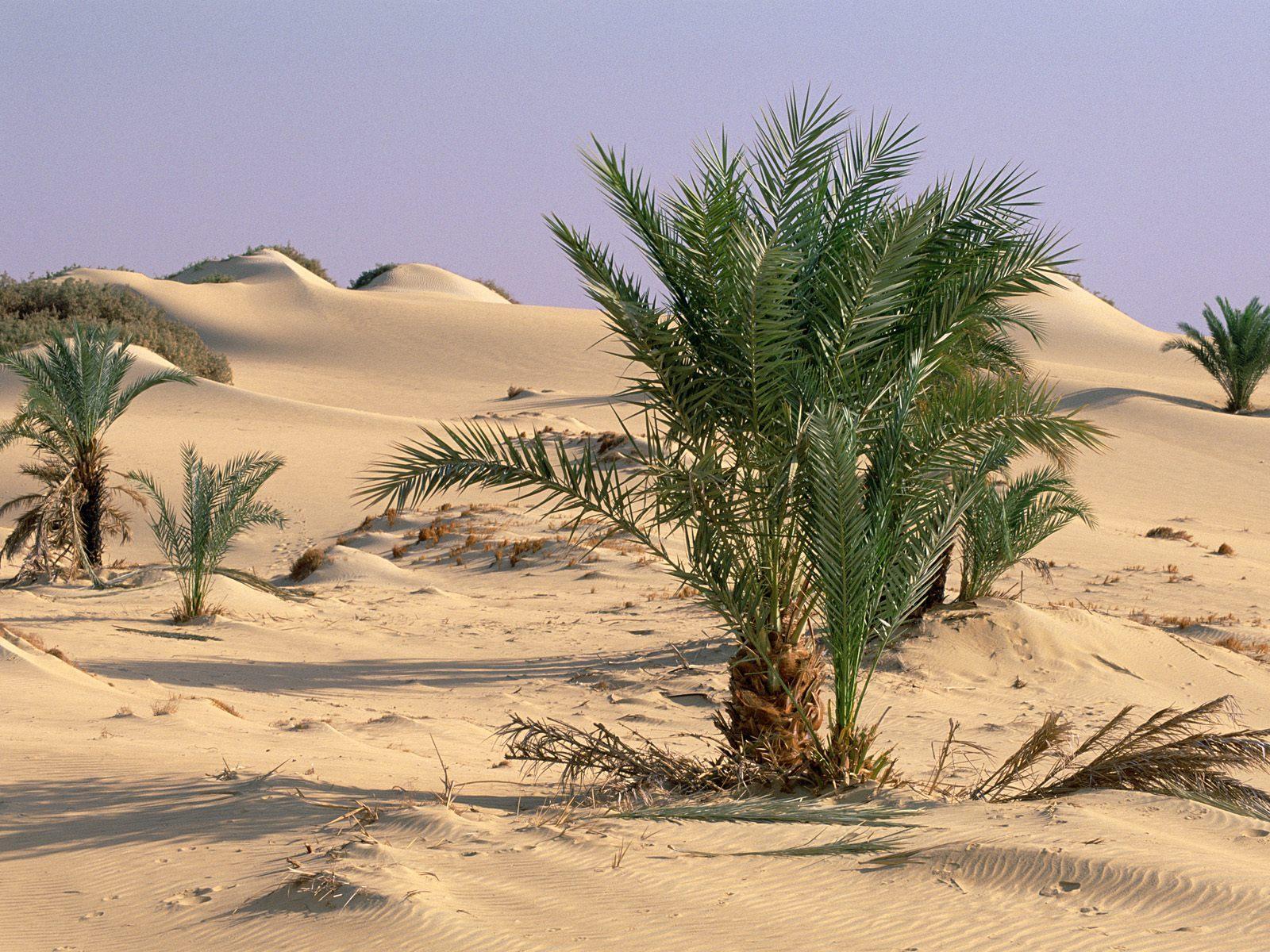 11152 скачать обои Растения, Песок, Пустыня, Кусты - заставки и картинки бесплатно