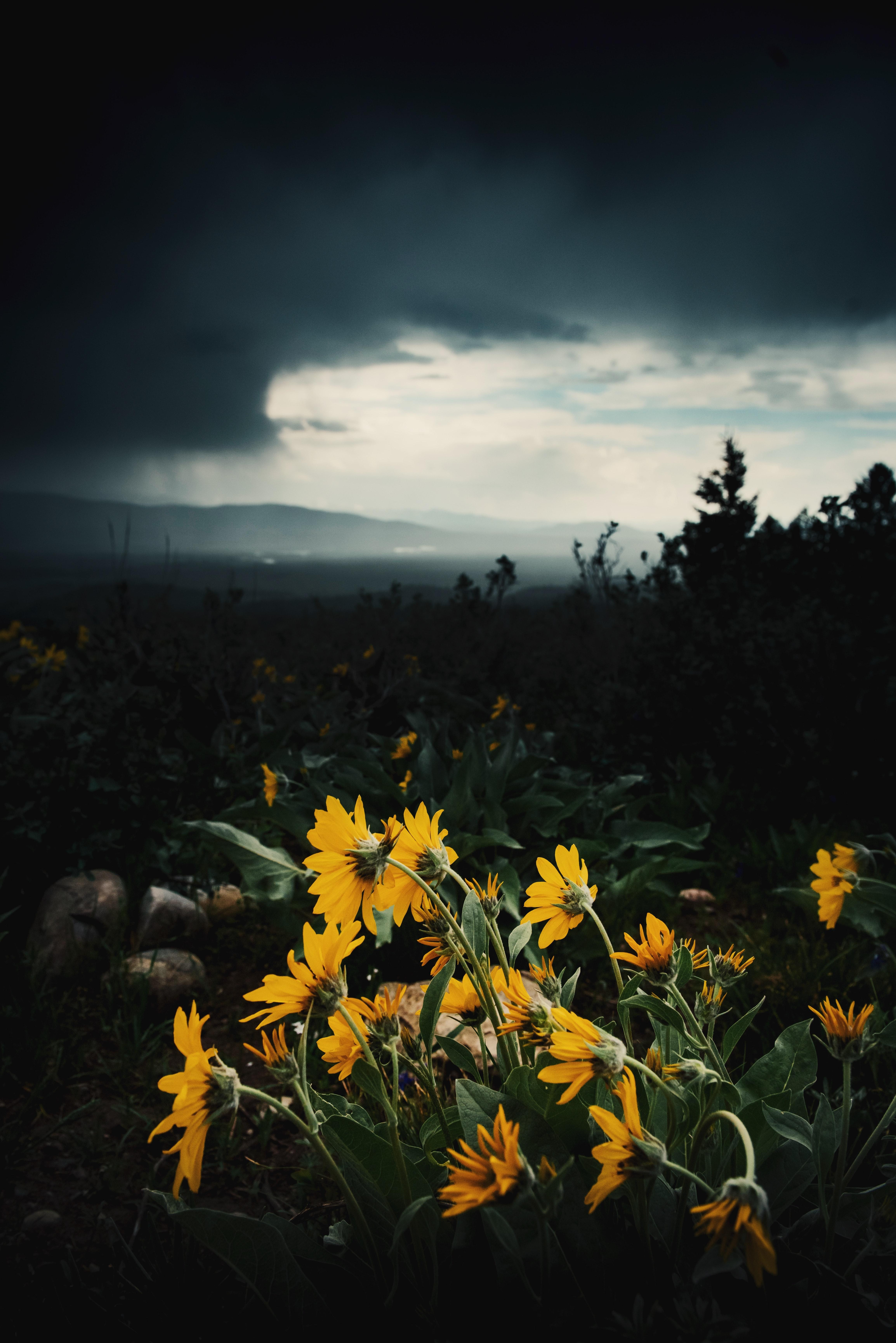 53919 скачать обои Цветы, Растения, Даль, Пасмурно, Подсолнухи - заставки и картинки бесплатно