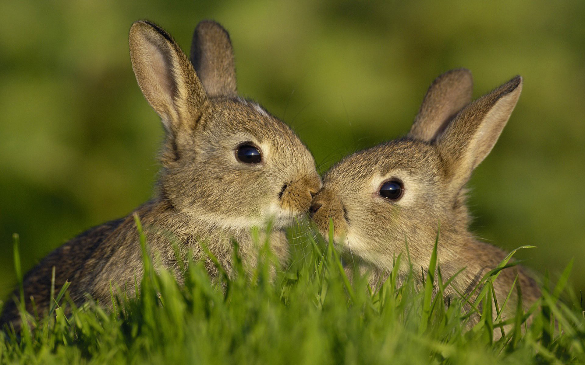 25037 download wallpaper Animals, Rabbits screensavers and pictures for free