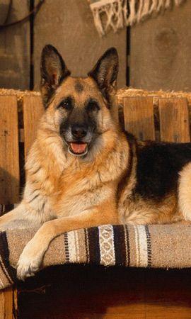 3466 descargar fondo de pantalla Animales, Perros: protectores de pantalla e imágenes gratis