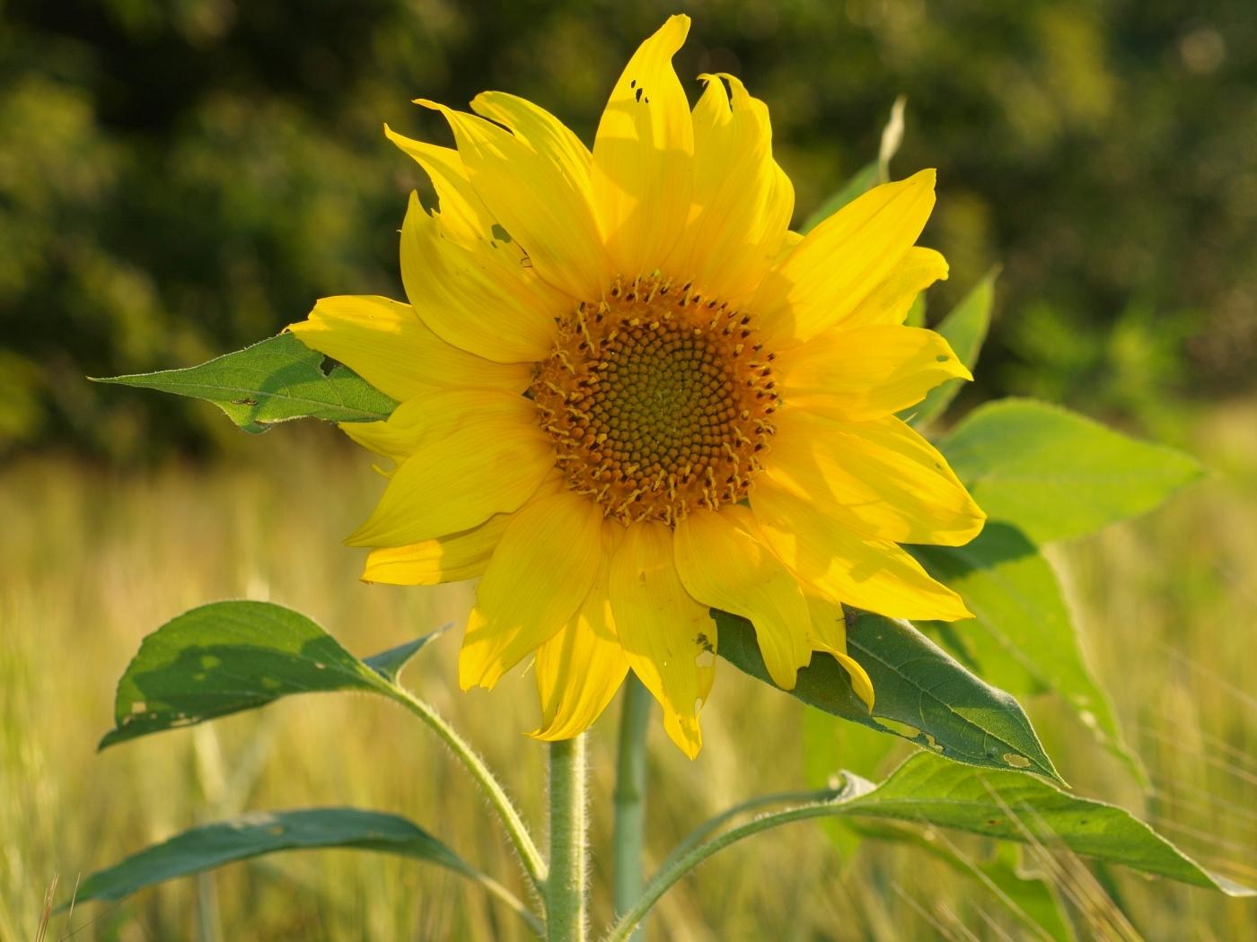 40525 скачать обои Растения, Цветы, Подсолнухи - заставки и картинки бесплатно