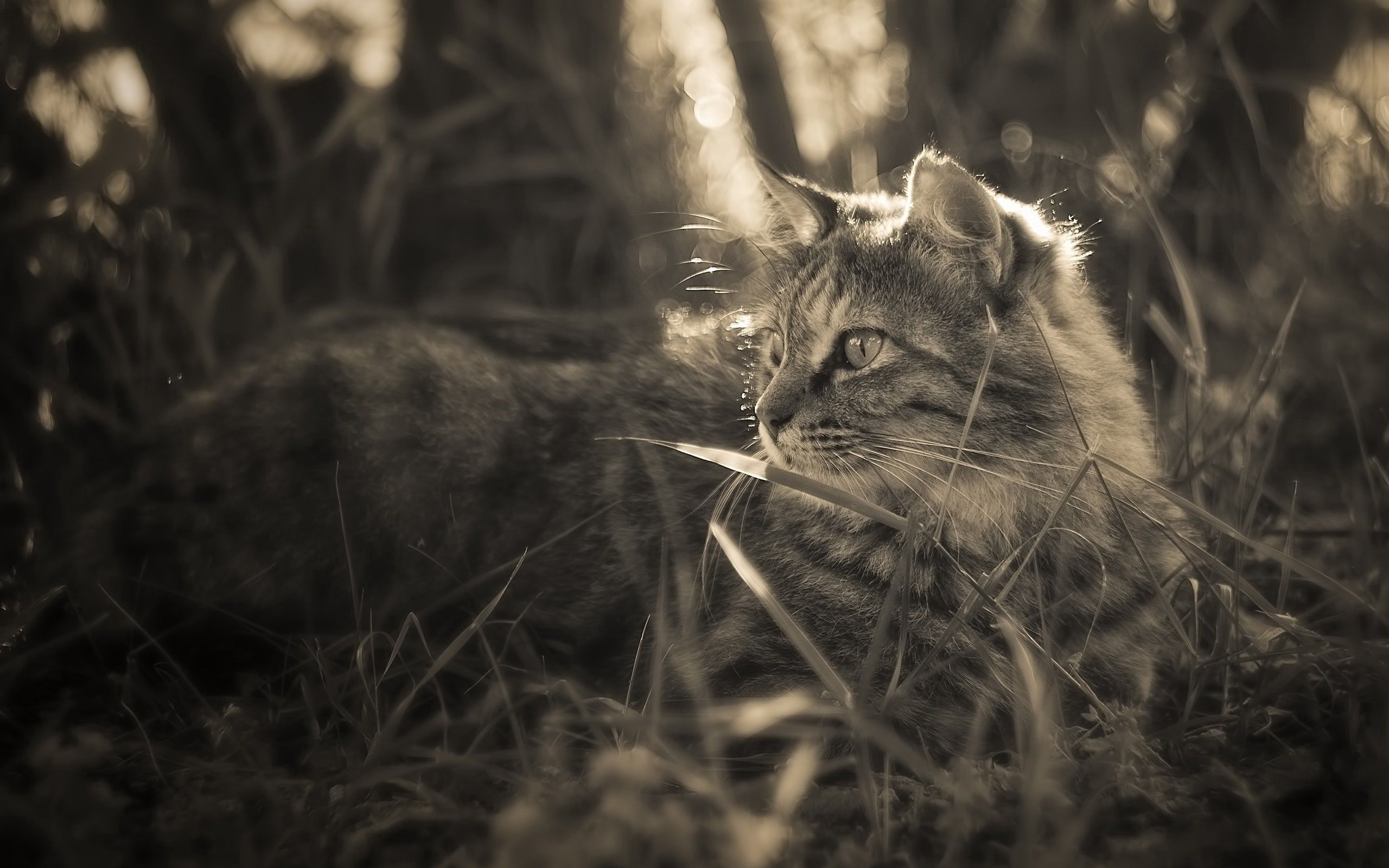 122095 Screensavers and Wallpapers Fluffy for phone. Download Animals, Grass, Cat, Fluffy, Stroll pictures for free