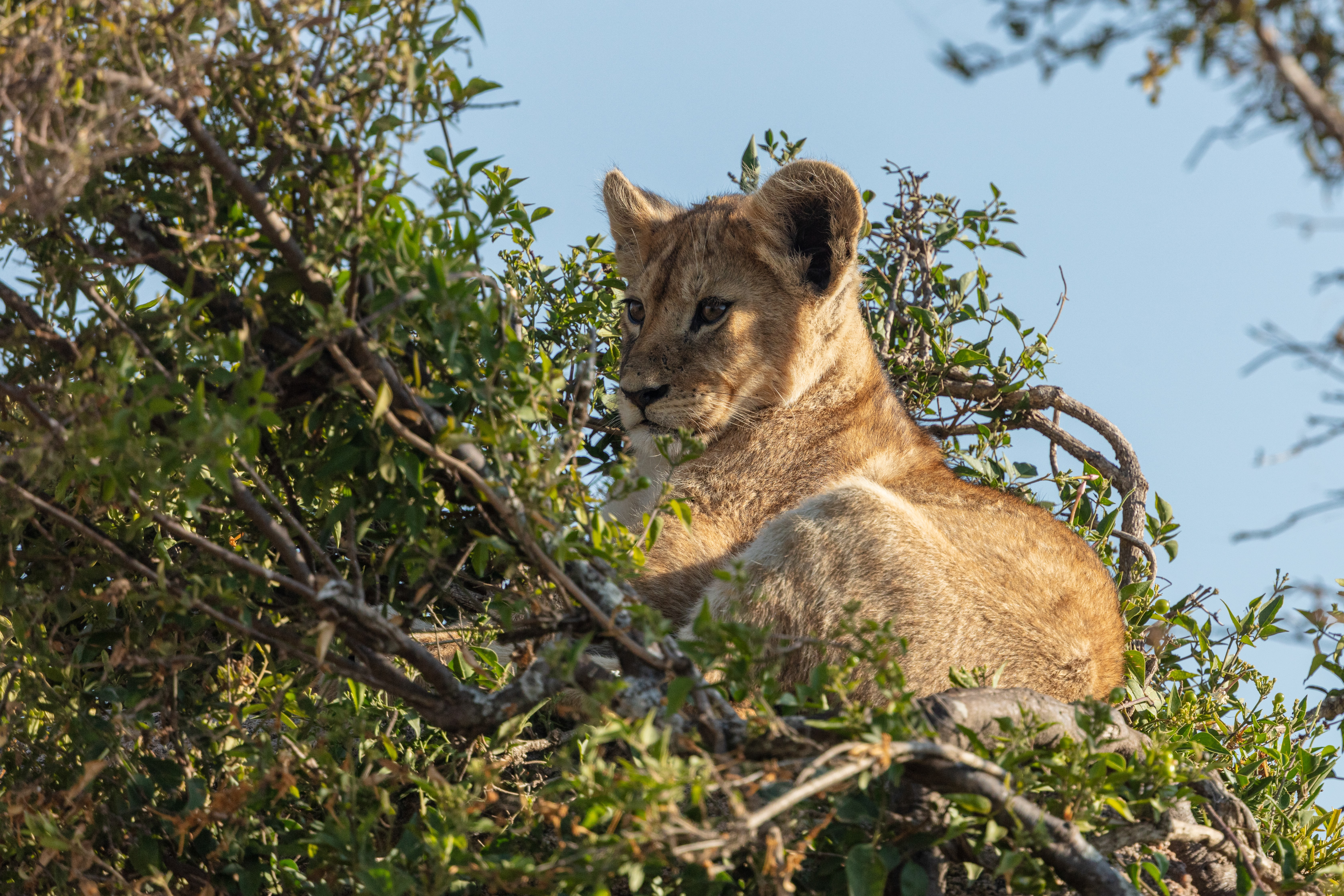 103741 download wallpaper Animals, Lion Cub, Lion, Animal, Branch, Wildlife screensavers and pictures for free