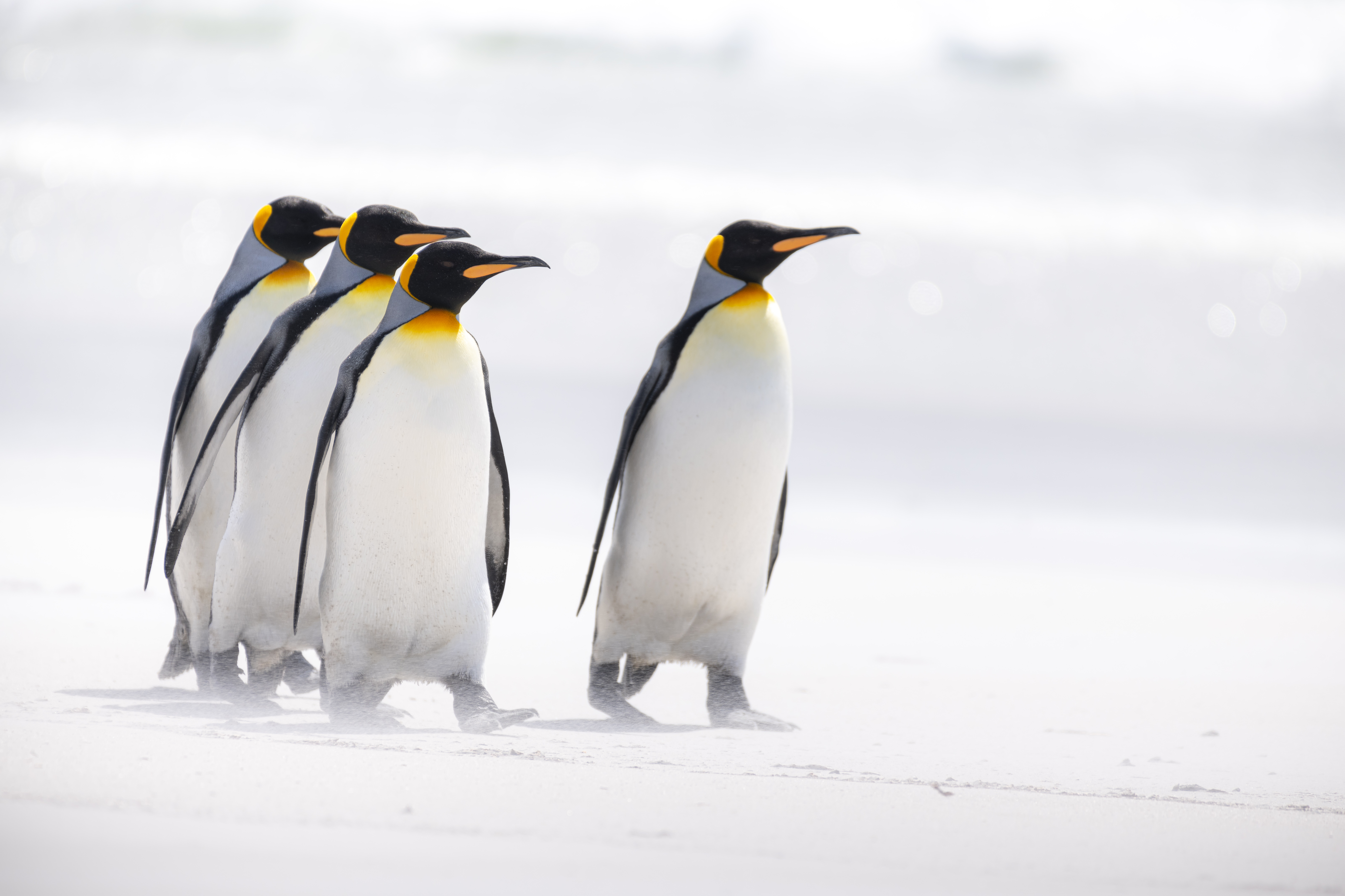 145151 download wallpaper Animals, Birds, Pinguins, Wildlife, Arctic, King Penguins screensavers and pictures for free