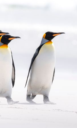 145151 download wallpaper Animals, King Penguins, Arctic, Wildlife, Birds, Pinguins screensavers and pictures for free