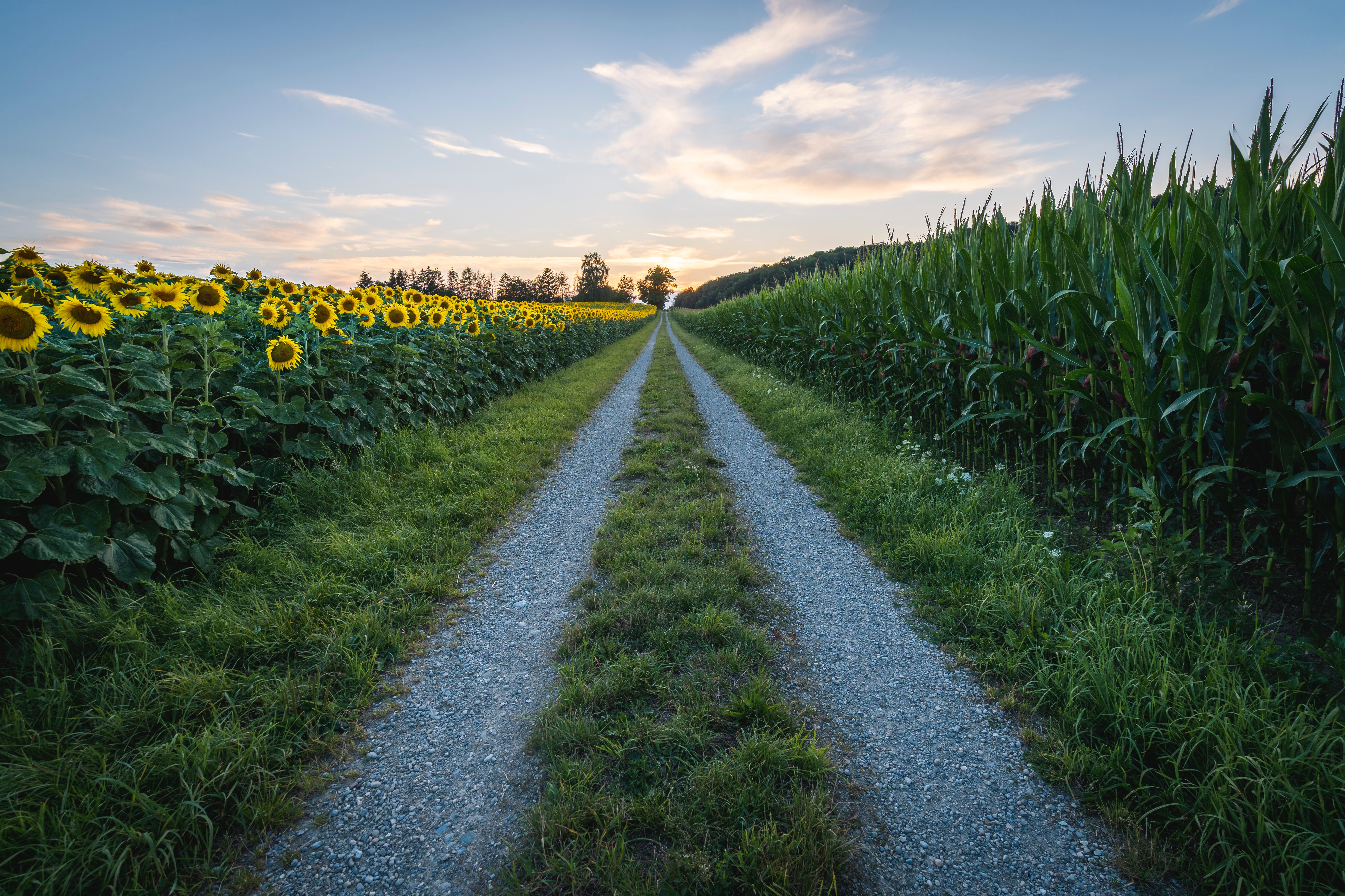 106137 Screensavers and Wallpapers Dahl for phone. Download Nature, Grass, Road, Dahl, Distance, Sunflower pictures for free