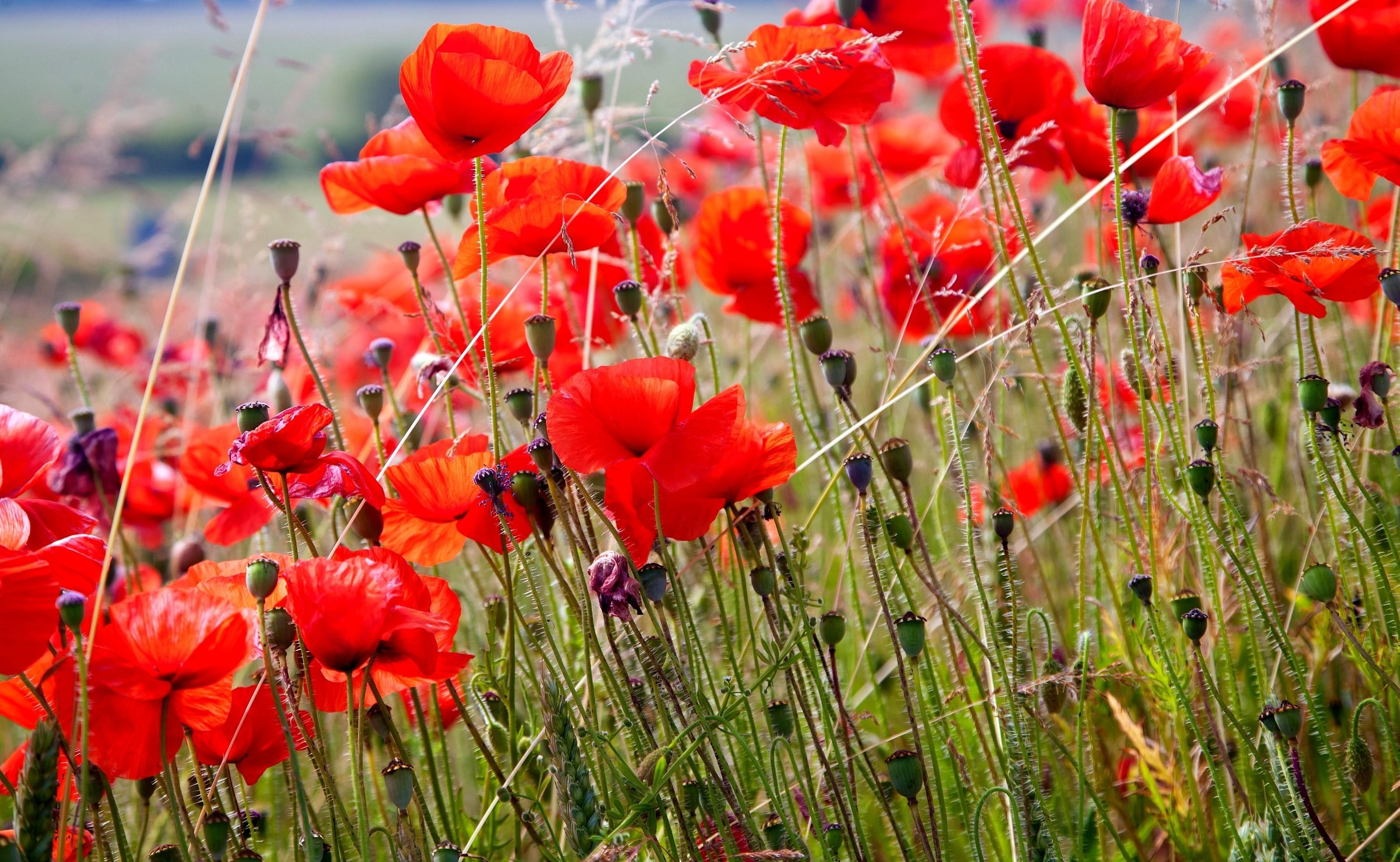 51806 Screensavers and Wallpapers Poppies for phone. Download Flowers, Poppies, Summer, Blur, Smooth, Field pictures for free