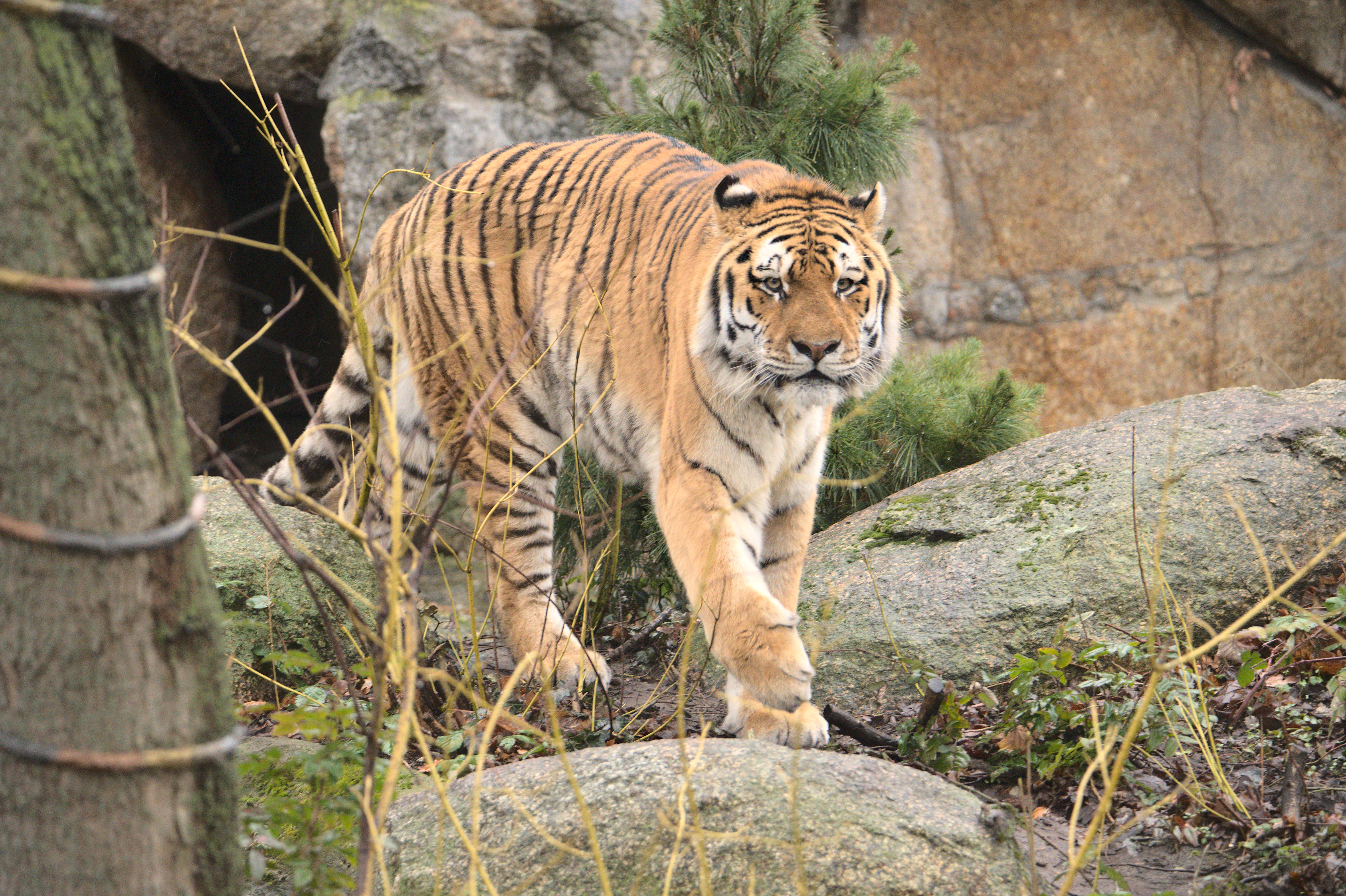 149503 download wallpaper Animals, Tiger, Animal, Predator, Big Cat, Wildlife screensavers and pictures for free