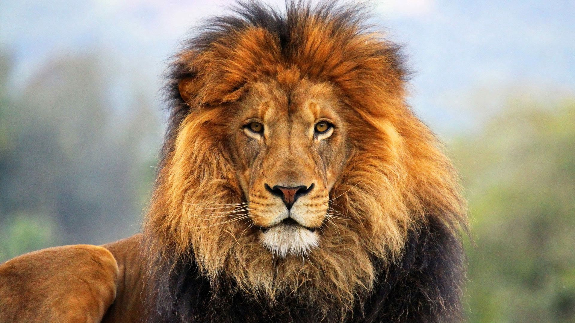 106478 descargar fondo de pantalla Animales, Bozal, Visión, Opinión, Un Leon, León, Lana, Melena: protectores de pantalla e imágenes gratis