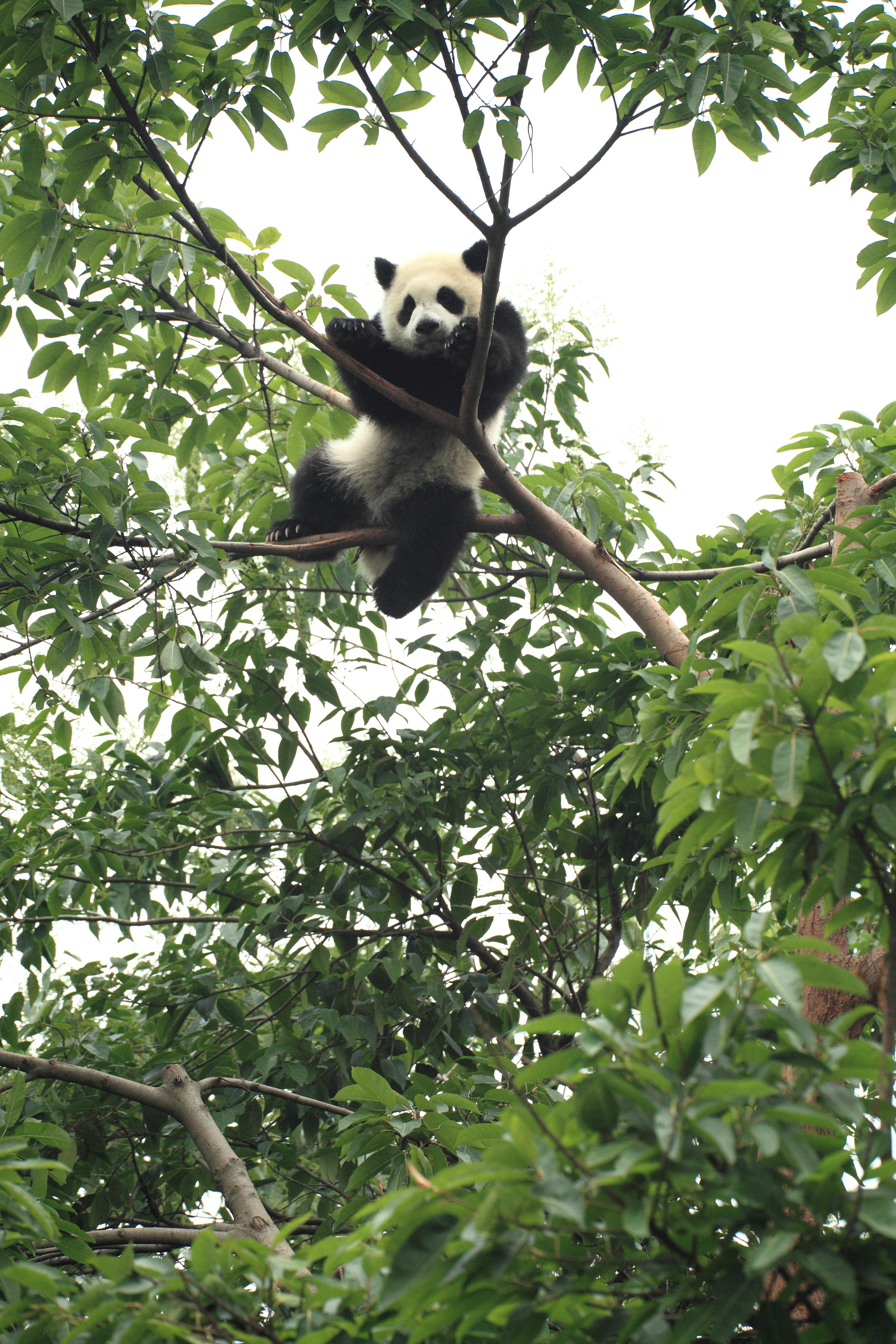 100629 télécharger le fond d'écran Bois, Animaux, Arbre, Animal, Drôle, Panda - économiseurs d'écran et images gratuitement