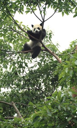 100629 download wallpaper Animals, Panda, Animal, Funny, Wood, Tree screensavers and pictures for free