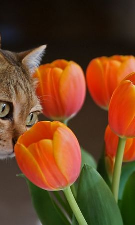 49101 download wallpaper Animals, Plants, Cats, Flowers, Tulips screensavers and pictures for free