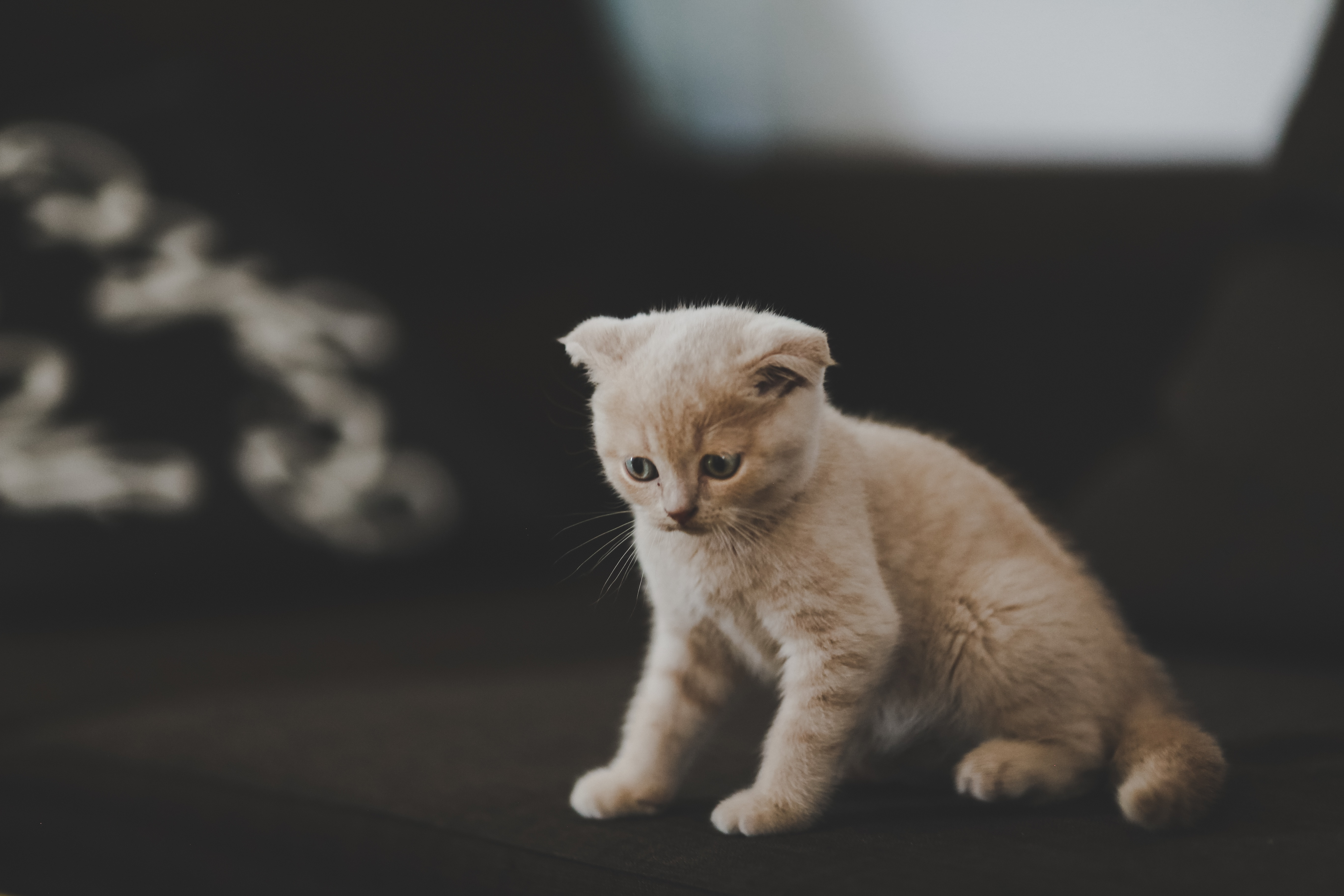 156723 Screensavers and Wallpapers Pet for phone. Download Animals, Kitty, Kitten, Scotsman, Cat, Nice, Sweetheart, Pet pictures for free