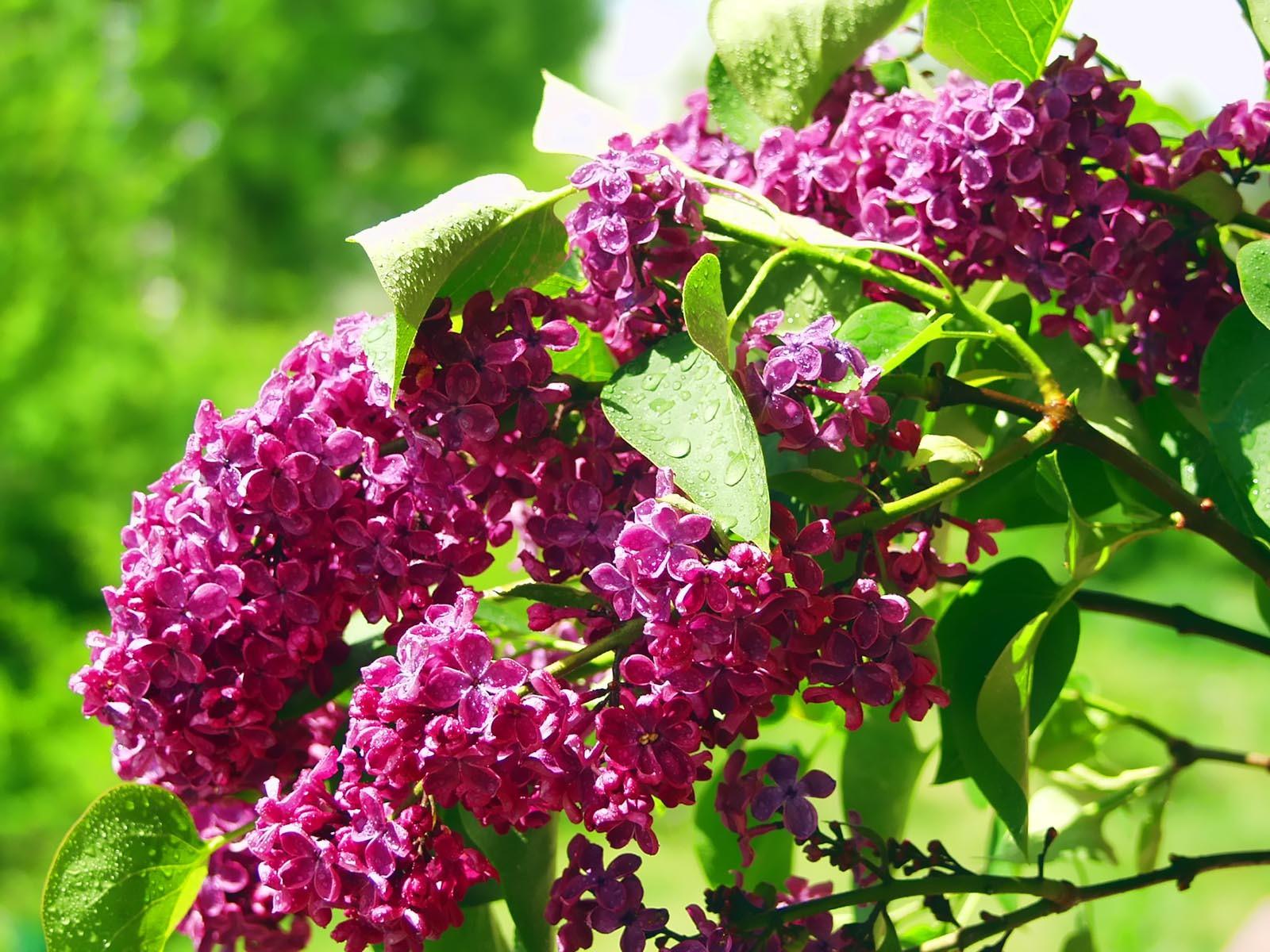 10638 скачать обои Растения, Цветы, Сирень - заставки и картинки бесплатно
