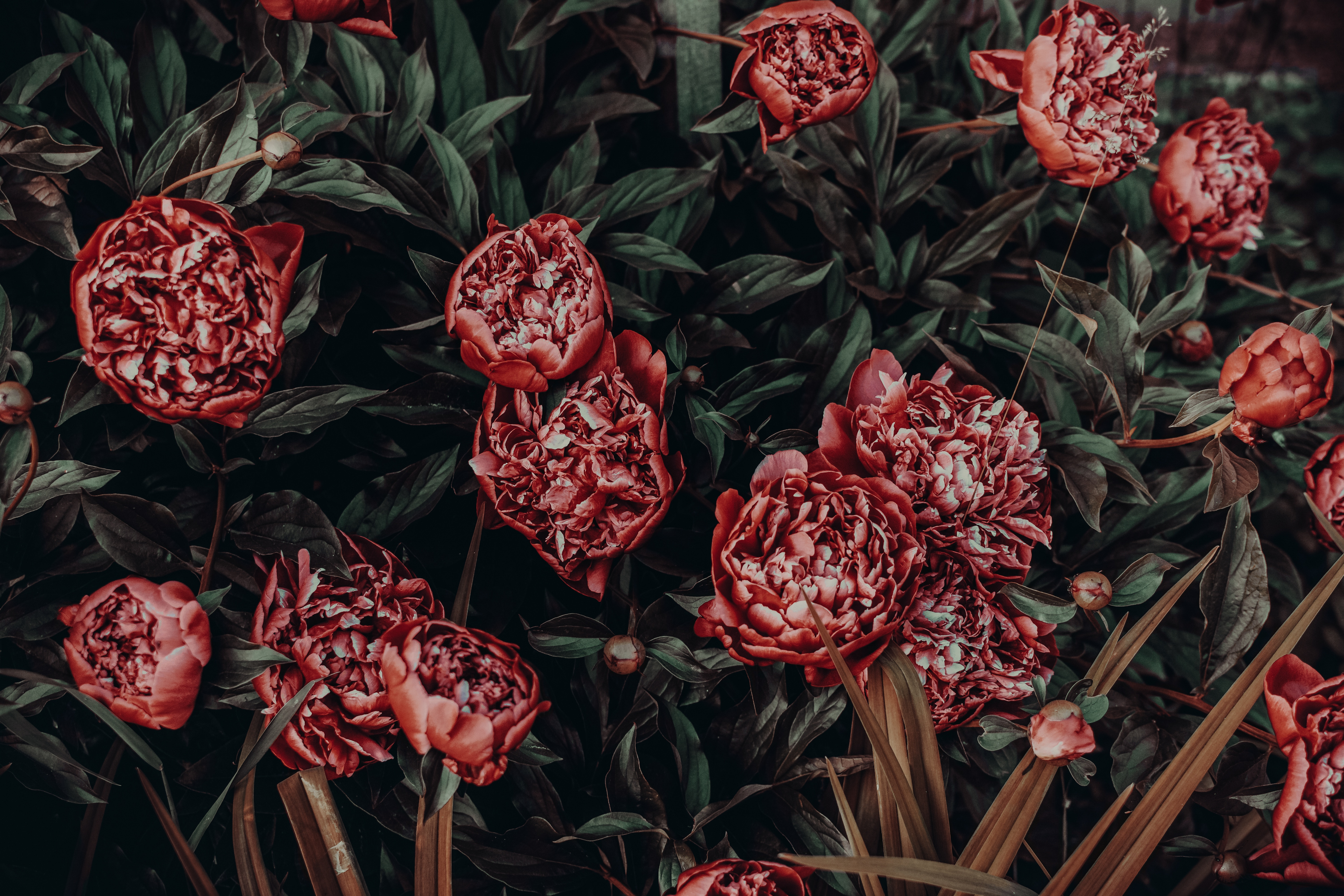 157378 Screensavers and Wallpapers Flower Bed for phone. Download Peonies, Flowers, Flower Bed, Flowerbed, Buds pictures for free
