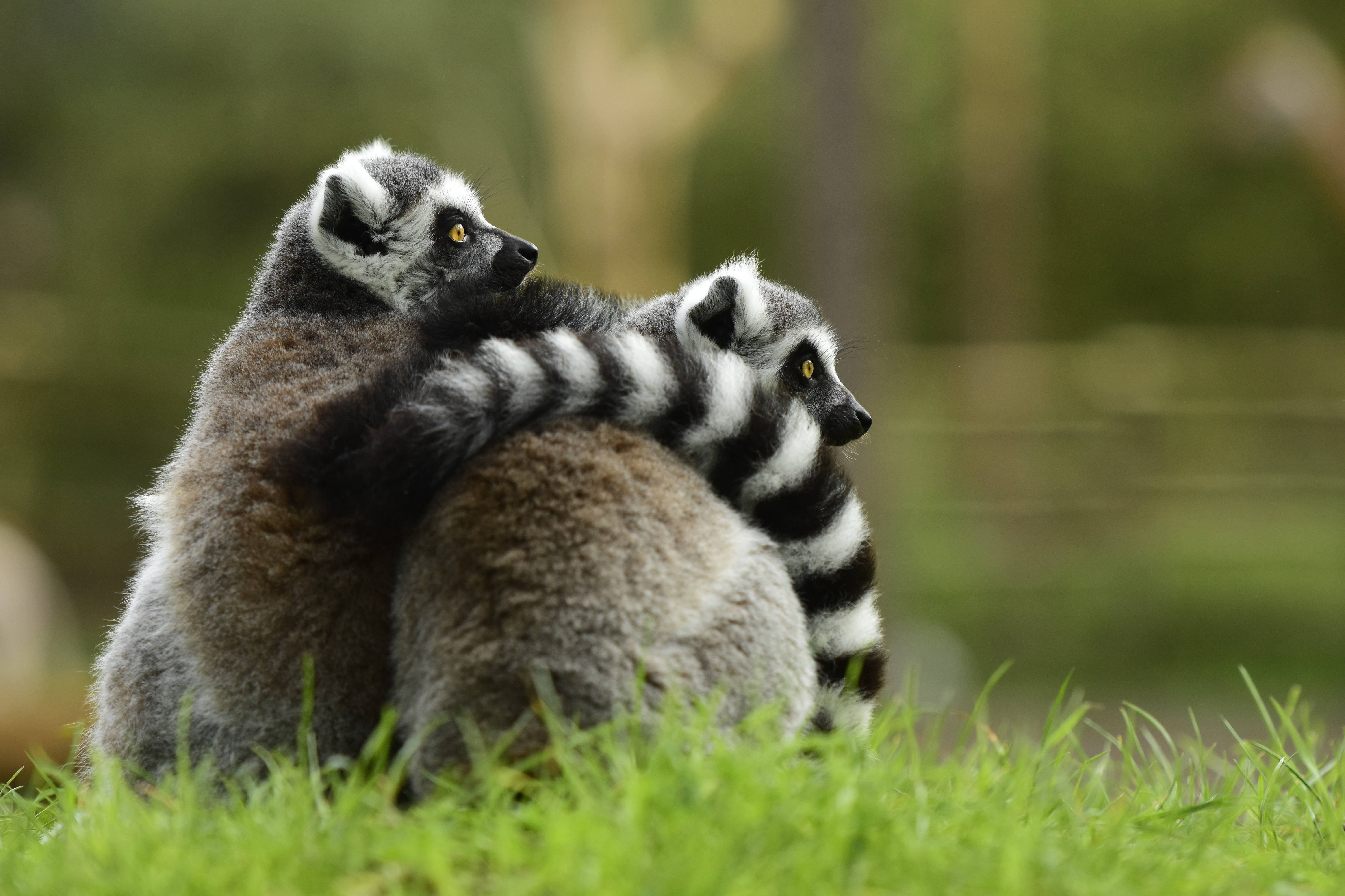 57620 download wallpaper Animals, Lemur, Couple, Pair, Embrace screensavers and pictures for free