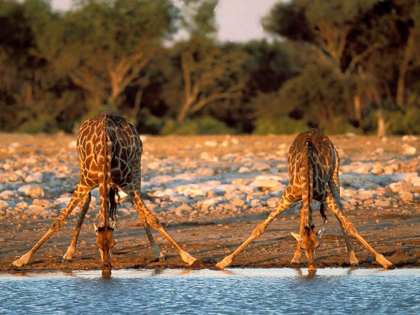 46340 download wallpaper Animals, Giraffes screensavers and pictures for free
