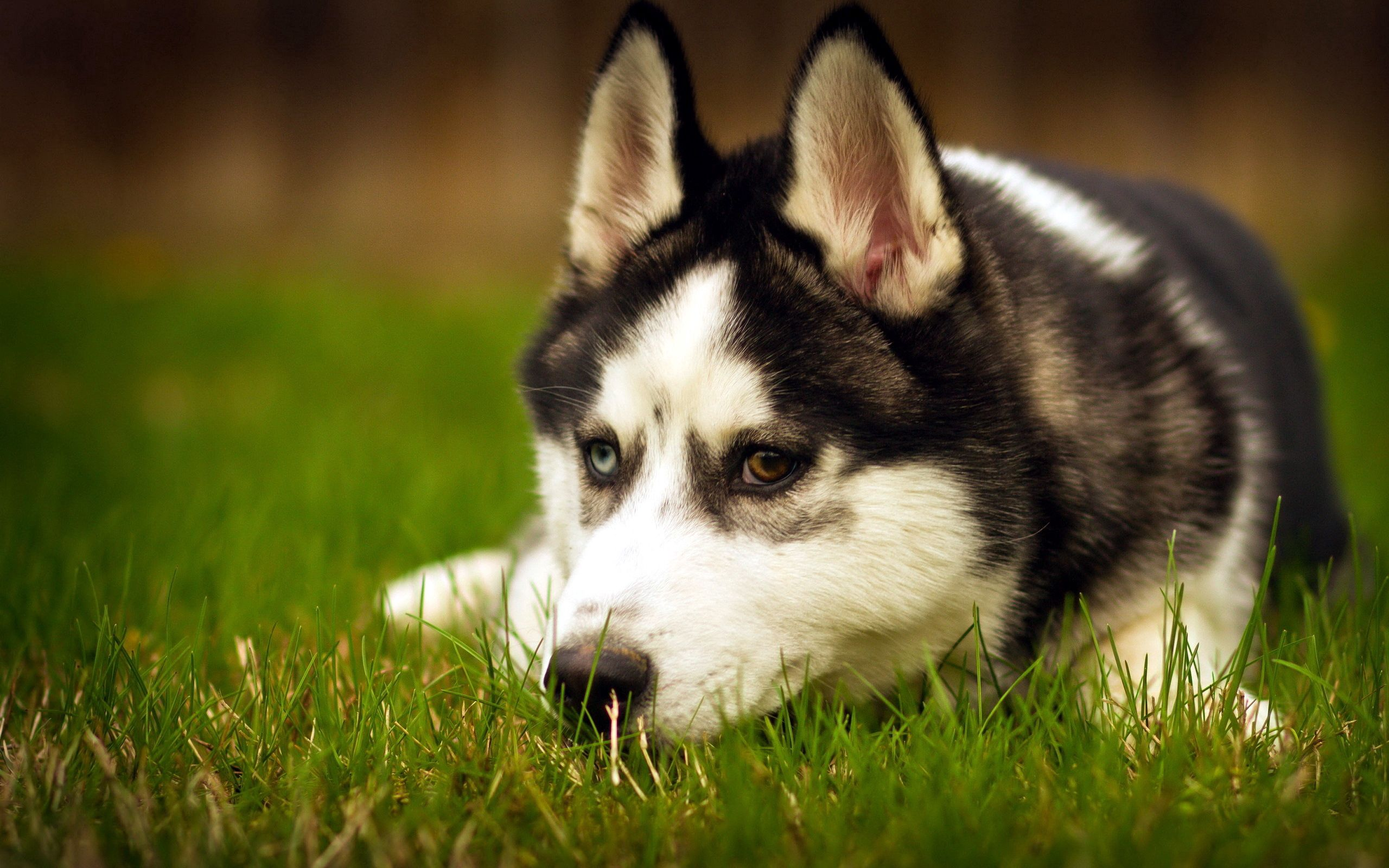 128570 download wallpaper Animals, Dog, Husky, Haska, To Lie Down, Lie, Sadness, Sorrow, Grass, Muzzle screensavers and pictures for free