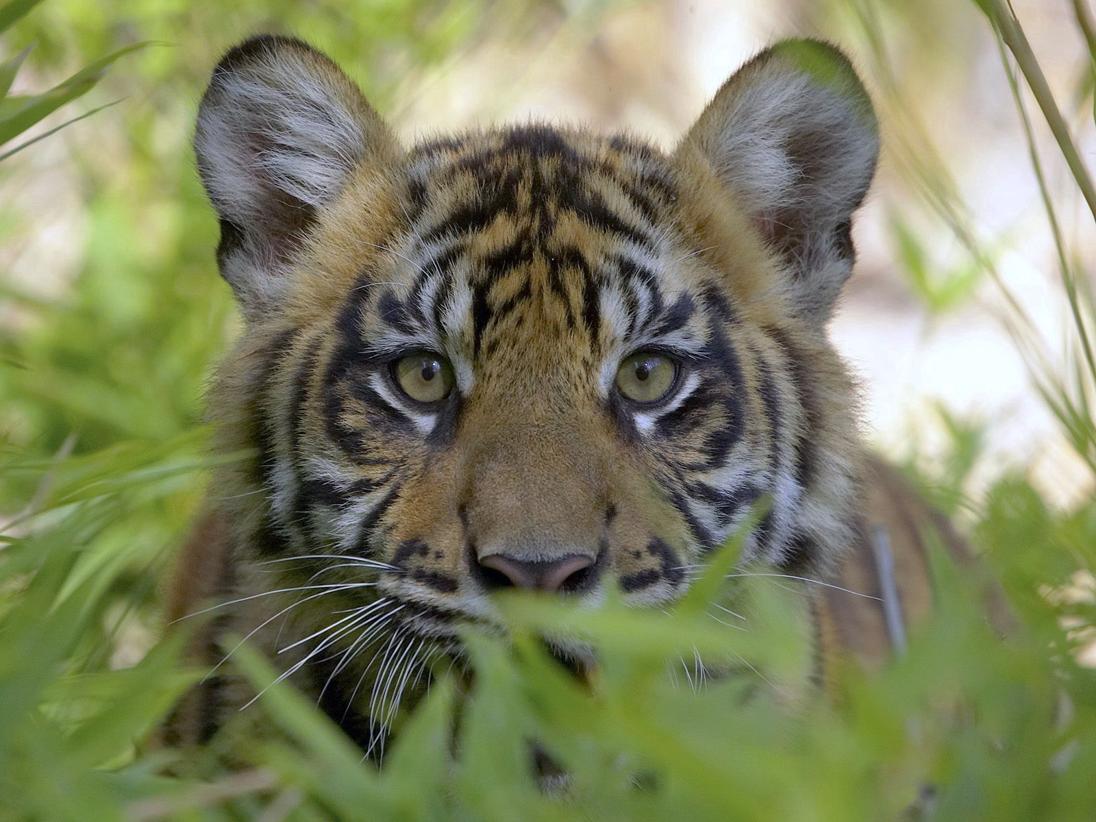 147145 download wallpaper Animals, Tiger, Muzzle, Grass, Hunting, Hunt screensavers and pictures for free