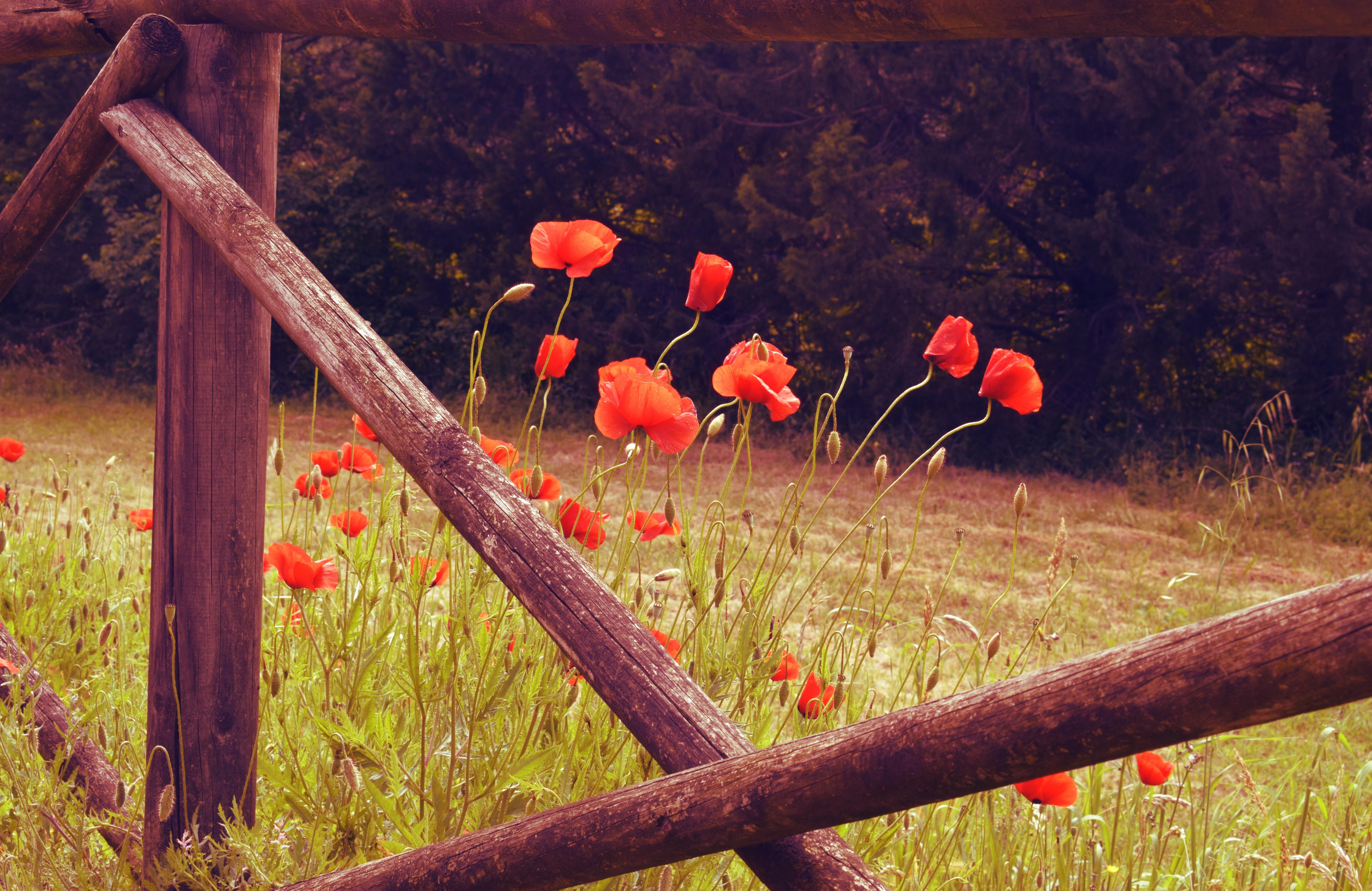 100288 скачать обои Цветы, Маки, Красный, Дикий, Цветение - заставки и картинки бесплатно