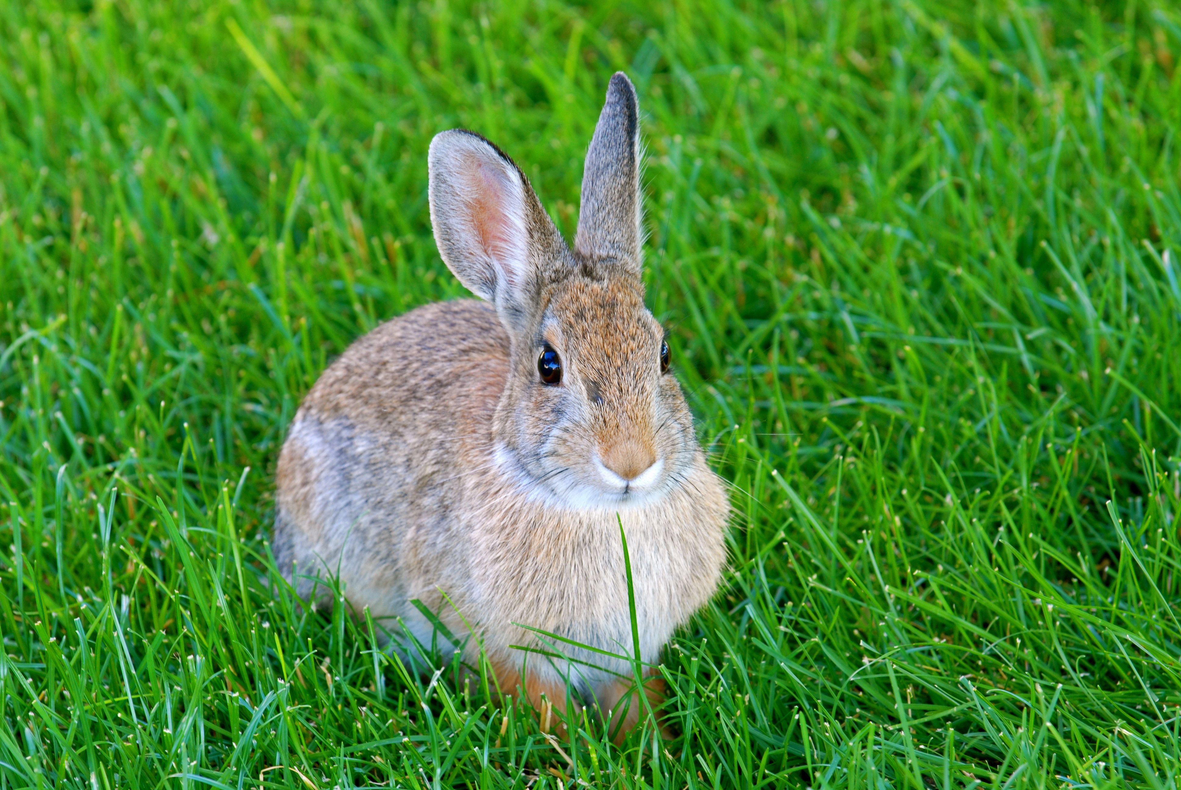 109845 download wallpaper Animals, Hare, Rabbit, Animal, Grass screensavers and pictures for free