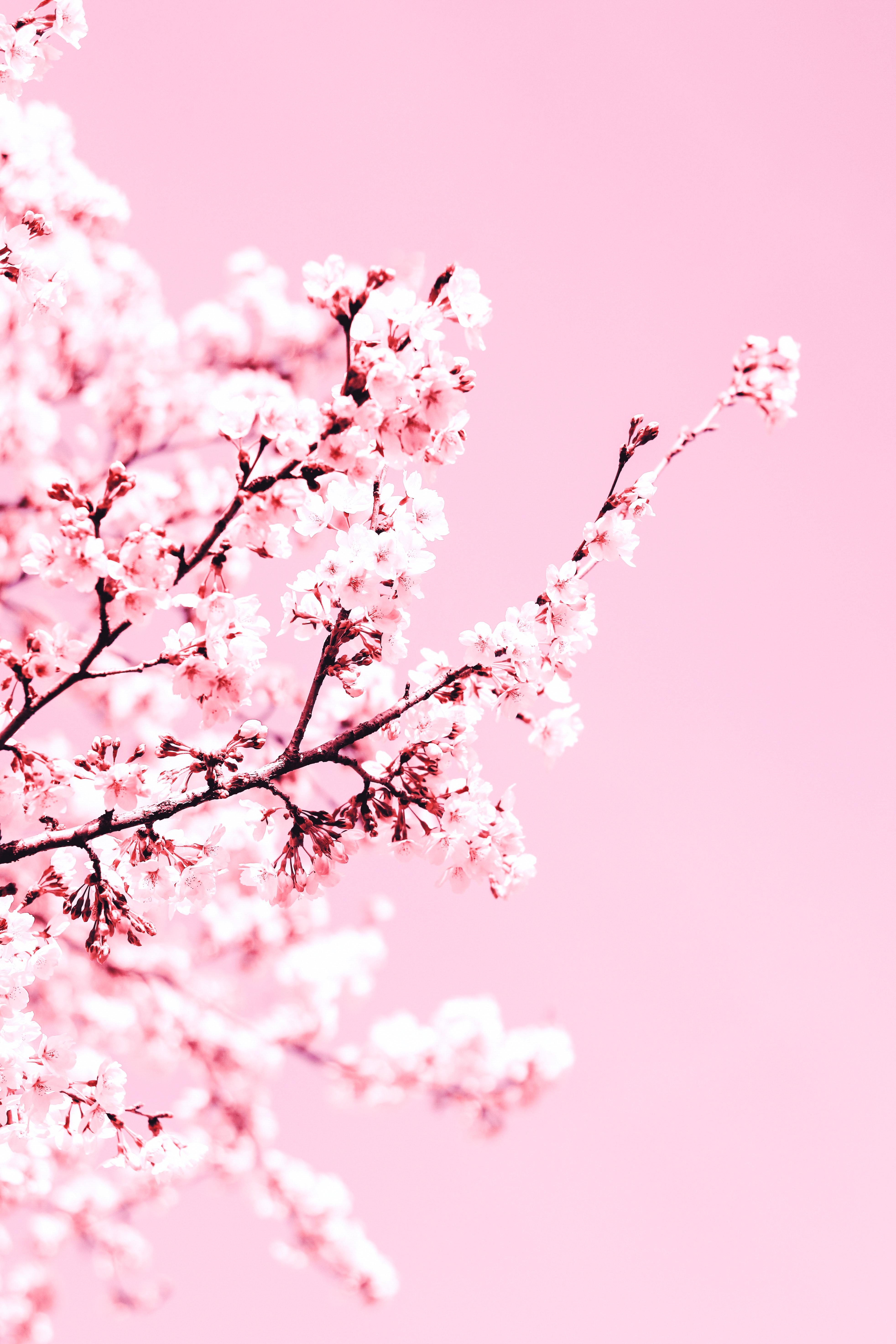 119793 Заставки и Обои Вишня на телефон. Скачать Цветы, Вишня, Растение, Цветение, Ветка, Розовый картинки бесплатно